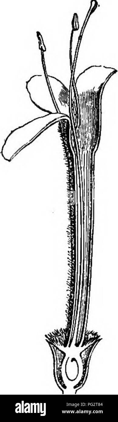 . The natural history of plants. Botany. 410. Inflorescence. Fig. 412. Long. sect, of flower. constricted mouth and is surrounded by an involucel quite free or united with a variable extent of its surface, in a single piece, entire or denticulate at the margin, often divided into four lobes of little depth, of which two are lateral, one anterior and one posterior. • Sipsaeus T. Inst. 466, t. 265.—L. Gen. n. 114.—J. Gen. 194.—G^rth. Fruct. ii. 39, t. 86. —Lamk. Diet. i. 622; Suppl. ii. 91 ; III. t. 56. —CouLT. Mem. Dipsao. 21, fig. 2-4.— DO. Prodr. 17. 645.—TuRP. Diet. Sc. Nat. Atl. t. 93.—Bndl - Stock Image