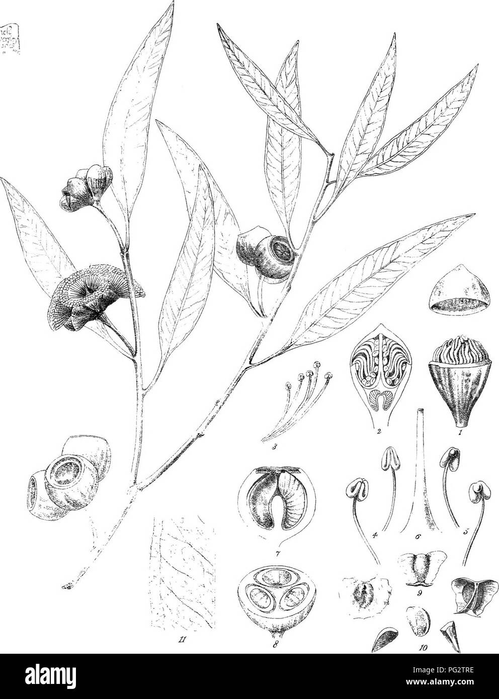 """. Eucalyptographia. A descriptive atlas of the eucalypts of Australia and the adjoining islands;. Eucalyptus; Botany. Toa.del.Cftoedel FvM.direxil. Steaim. Lltho Gov Pr!p':>.50 ^'-?'""""-et li©%]pte MiaiML./M/^. Please note that these images are extracted from scanned page images that may have been digitally enhanced for readability - coloration and appearance of these illustrations may not perfectly resemble the original work.. Mueller, Ferdinand von, 1825-1896. Melbourne, J. Ferres, Govt. Print; [etc. ,etc. ] - Stock Image"""