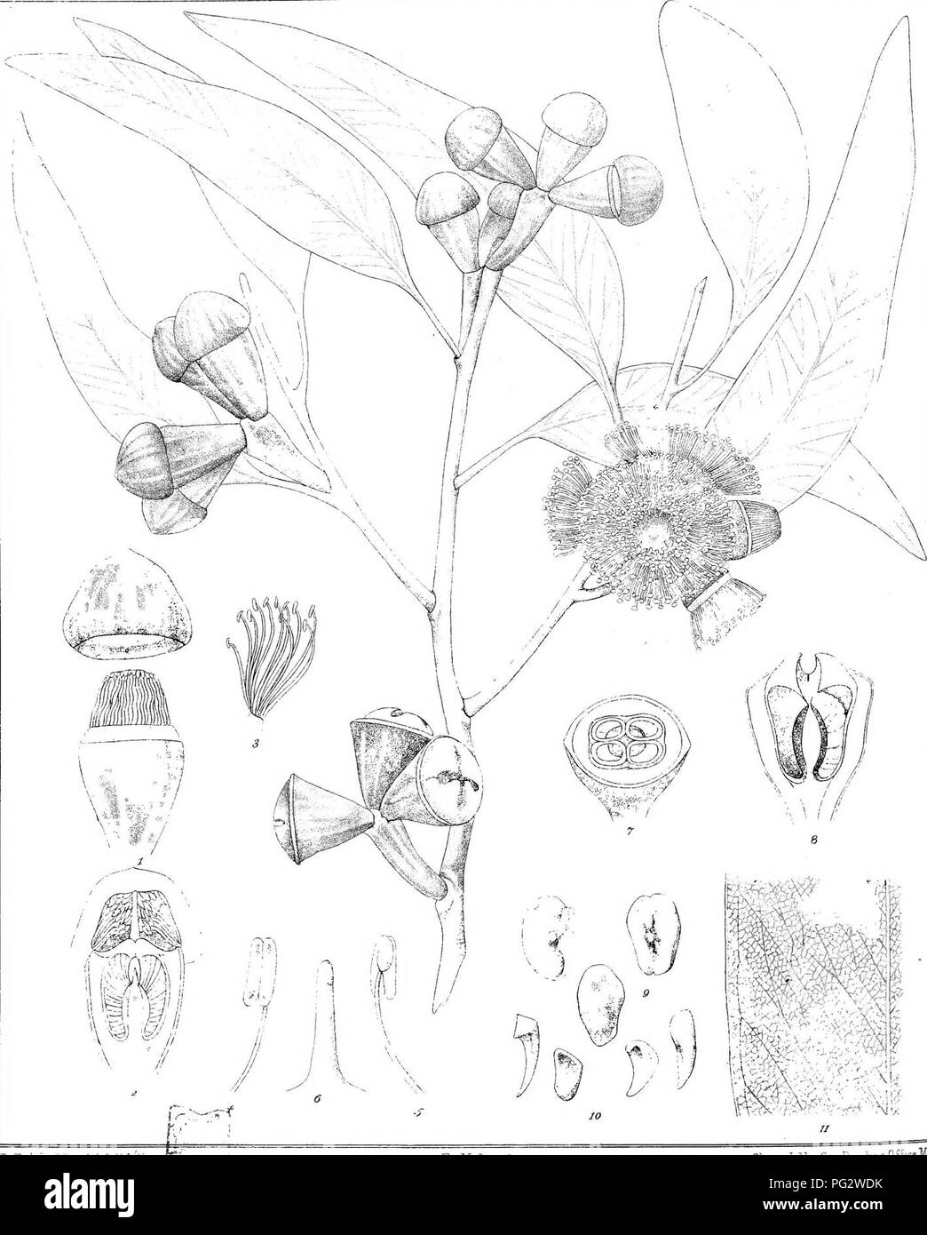 """. Eucalyptographia. A descriptive atlas of the eucalypts of Australia and the adjoining islands;. Eucalyptus; Botany. baide"""". CTroecl6:''.C':U'J, F.T.M dirtici Steam lilluD GoTPiinbiig Office Mali ^HSiil^^iiig :