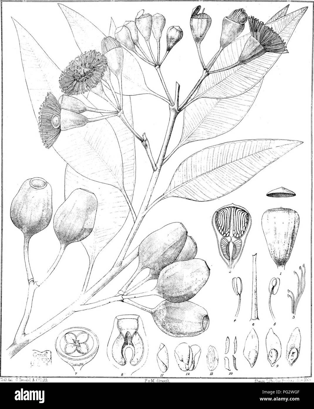 . Eucalyptographia. A descriptive atlas of the eucalypts of Australia and the adjoining islands;. Eucalyptus; Botany. c il .i£l C. Troodi?! k C ^ T.i». Fv.M_ direxib. te&an -itn-j bov ; li(g%]|)ilMg SmiiM^SYM. Please note that these images are extracted from scanned page images that may have been digitally enhanced for readability - coloration and appearance of these illustrations may not perfectly resemble the original work.. Mueller, Ferdinand von, 1825-1896. Melbourne, J. Ferres, Govt. Print; [etc. ,etc. ] - Stock Image