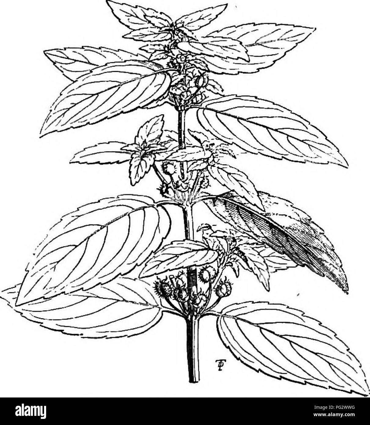 . The natural history of plants. Botany. Kg. 177. Male stalk. Fig. 179. Female stalk. Fig. 178. Male flower {^). Fig. 180. Female flower (f). Fig. 181. Female flower, without gynseceum. Fig. 182. Normal female flower seen from above. Fig. 183. Female flower Fig. 184. Female flower with four sepals. with five sepals. JErythrococca are woody and thorny; finally, several herbaceous Cape species have an androceum reduced like that of Bysopsis to three stamens. Tetrorchidium, consisting of shrubs from tropical America, have nearly the same vegetative organs and flowers as the species of Mercurialis Stock Photo