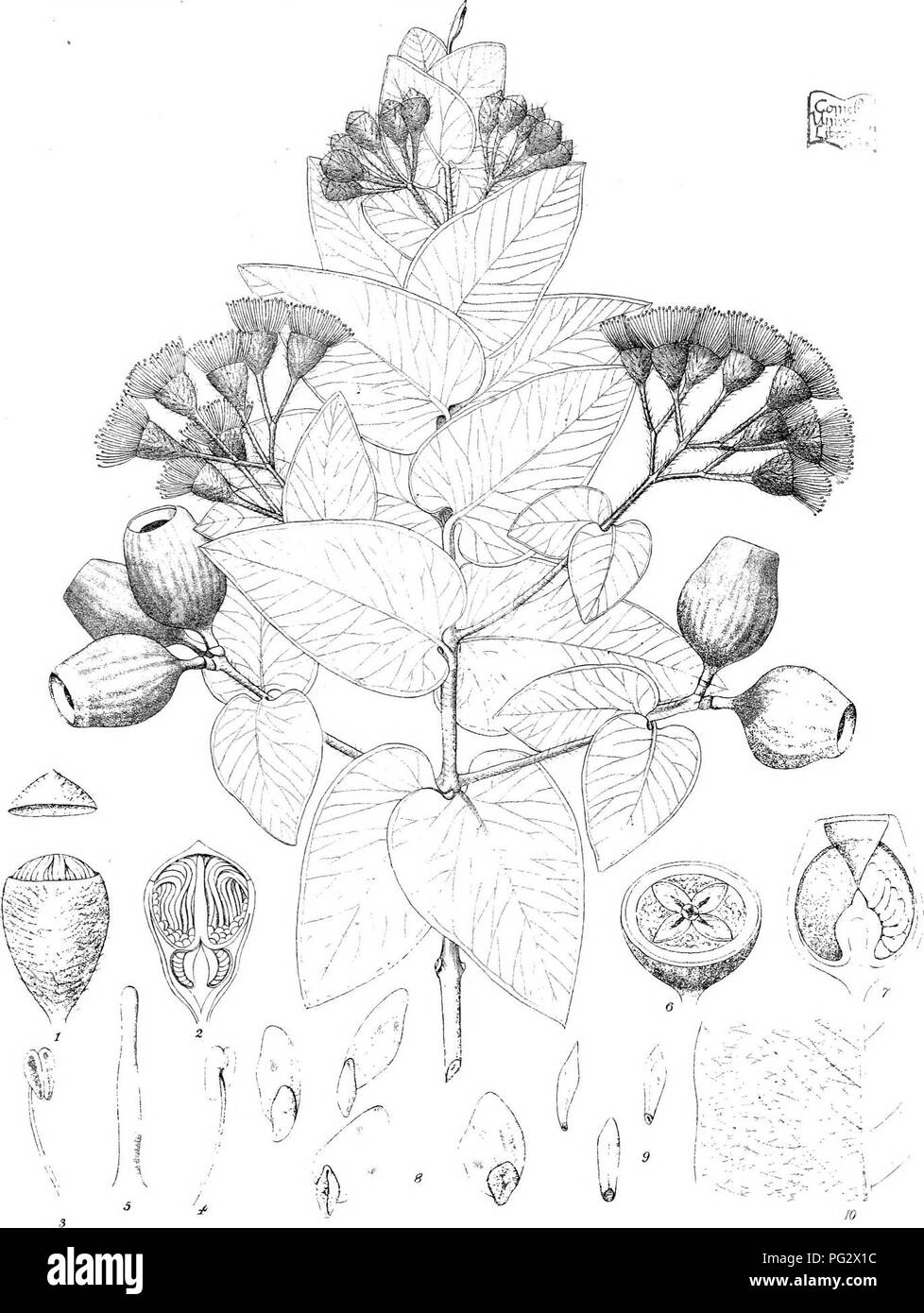 . Eucalyptographia. A descriptive atlas of the eucalypts of Australia and the adjoining islands;. Eucalyptus; Botany. lie lli'.v -. oi'-- U] CTkcsH-; ,'vC? Li>i- FyK il.-evi! Sl.-m L-.lKo Gov.Prinhil OfE» Mf'i: lEm^iillfMig g@il(Dgii. Schauer.. Please note that these images are extracted from scanned page images that may have been digitally enhanced for readability - coloration and appearance of these illustrations may not perfectly resemble the original work.. Mueller, Ferdinand von, 1825-1896. Melbourne, J. Ferres, Govt. Print; [etc. ,etc. ] - Stock Image