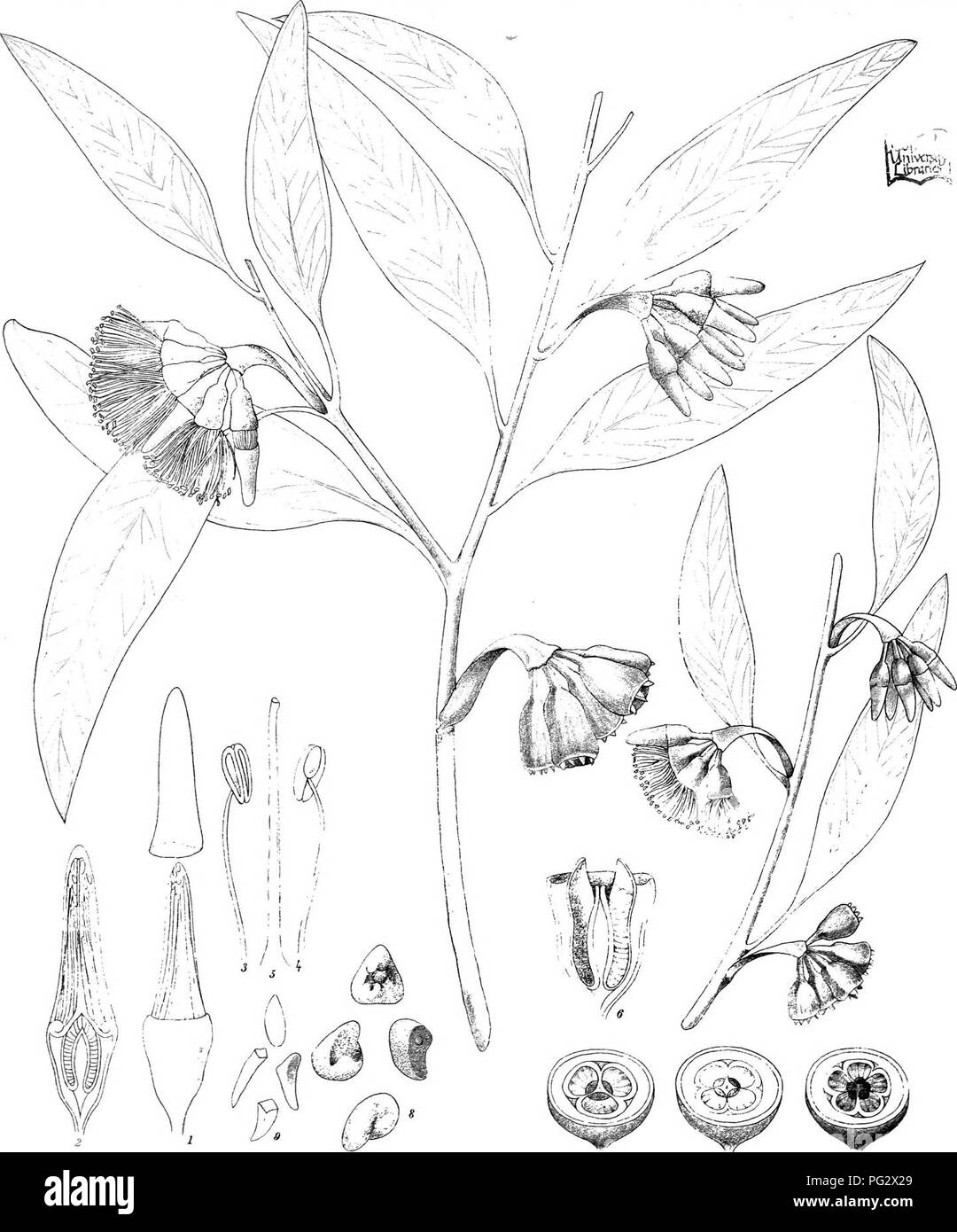 . Eucalyptographia. A descriptive atlas of the eucalypts of Australia and the adjoining islands;. Eucalyptus; Botany. r, iel: & C l;lh. 7-^r M. iirexib. SUam LitRo Sot Pr,r,HT,4 nffifo.M^lb. i^m(g^%35)te (D(g(gM(BiMa^o EndliGher.. Please note that these images are extracted from scanned page images that may have been digitally enhanced for readability - coloration and appearance of these illustrations may not perfectly resemble the original work.. Mueller, Ferdinand von, 1825-1896. Melbourne, J. Ferres, Govt. Print; [etc. ,etc. ] - Stock Image