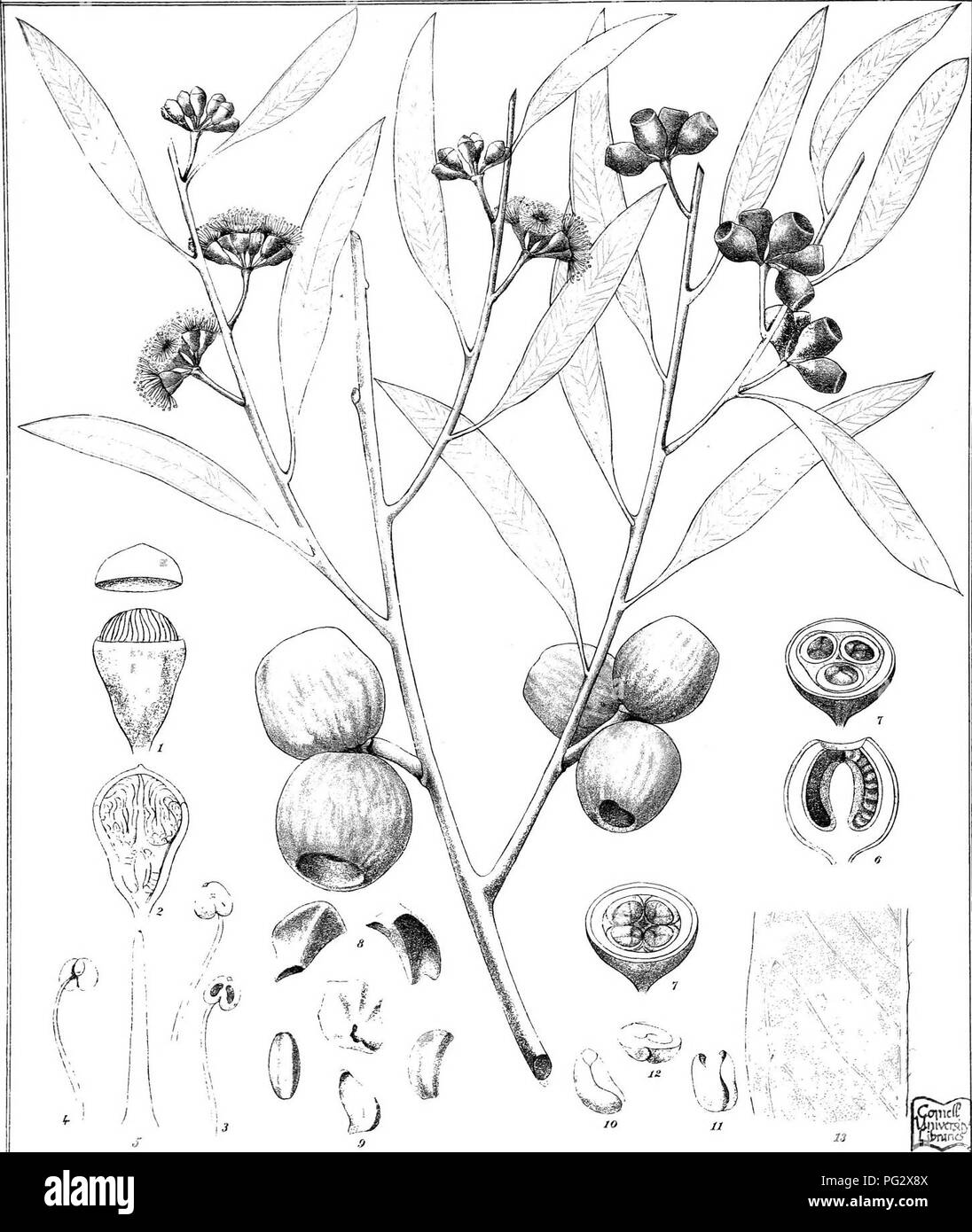 """. Eucalyptographia. A descriptive atlas of the eucalypts of Australia and the adjoining islands;. Eucalyptus; Botany. Toit del. C-Tr;e deli â â -â '> Litf.. F.-vrM. dirent 3t°iiti_ Lilho Gov Printm^ Ci:. .""""Â«' ' ai(gn]^te© ^M]pi?(i^fe. Please note that these images are extracted from scanned page images that may have been digitally enhanced for readability - coloration and appearance of these illustrations may not perfectly resemble the original work.. Mueller, Ferdinand von, 1825-1896. Melbourne, J. Ferres, Govt. Print; [etc. ,etc. ] - Stock Image"""