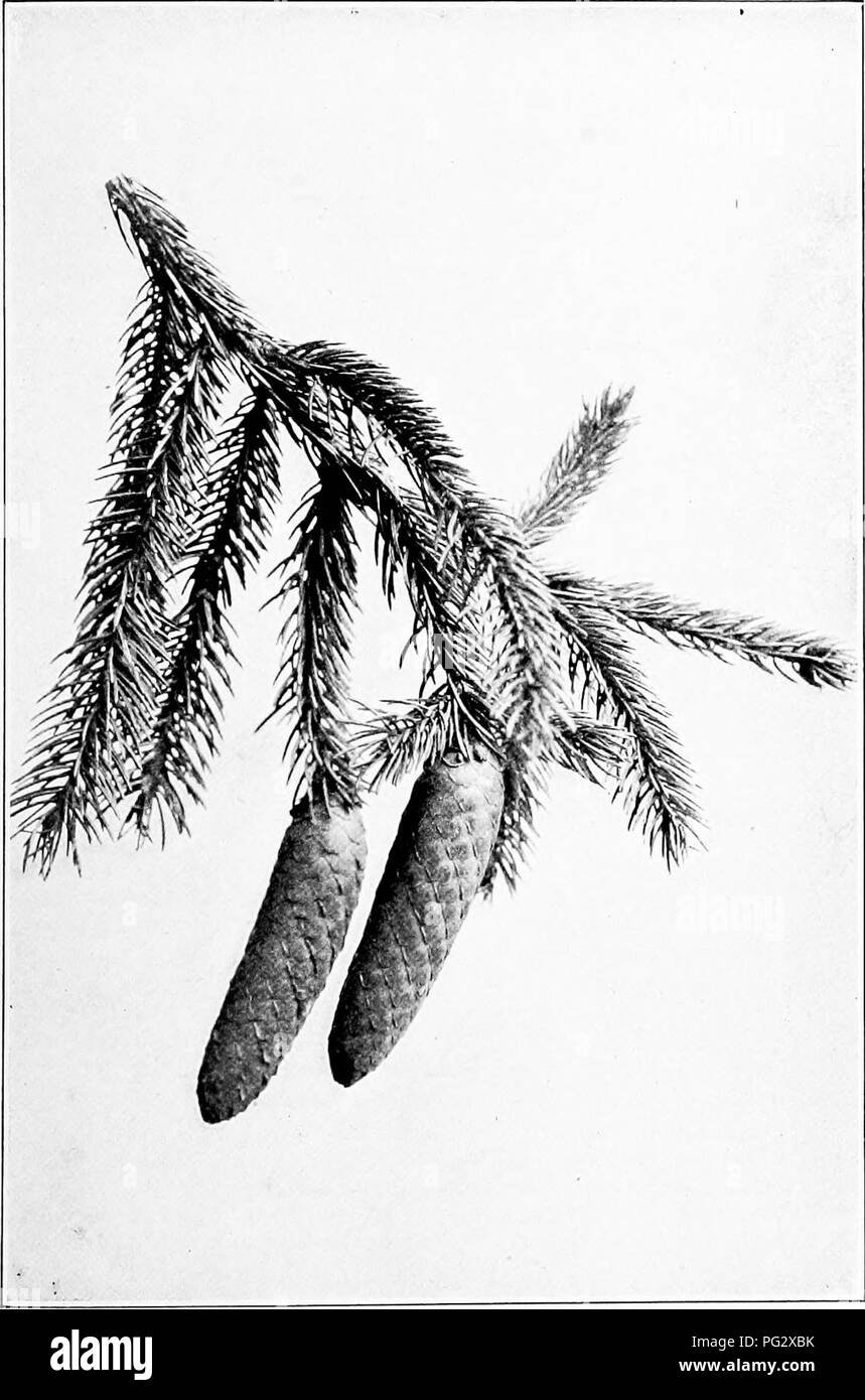 . Our native trees and how to identify them; a popular study of their habits and their peculiarities. Trees. NORWAY SPRUCE. Fruiting Spray of Norway Spruce, Picea excelsa. Cones 4' to 6' long.. Please note that these images are extracted from scanned page images that may have been digitally enhanced for readability - coloration and appearance of these illustrations may not perfectly resemble the original work.. Keeler, Harriet L. (Harriet Louise), 1846-1921. New York, C. Scribner's Sons - Stock Image