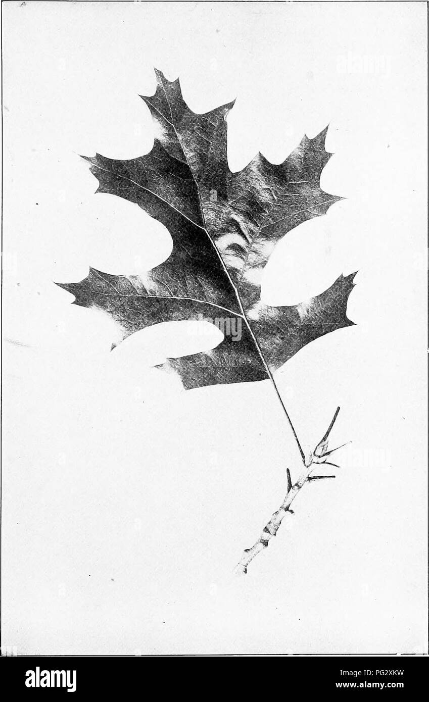 . Our native trees and how to identify them; a popular study of their habits and their peculiarities. Trees. BLACK OAK. Black Oak, Quercus velutina. Leaves 4' to 6' long.. Please note that these images are extracted from scanned page images that may have been digitally enhanced for readability - coloration and appearance of these illustrations may not perfectly resemble the original work.. Keeler, Harriet L. (Harriet Louise), 1846-1921. New York, C. Scribner's Sons - Stock Image