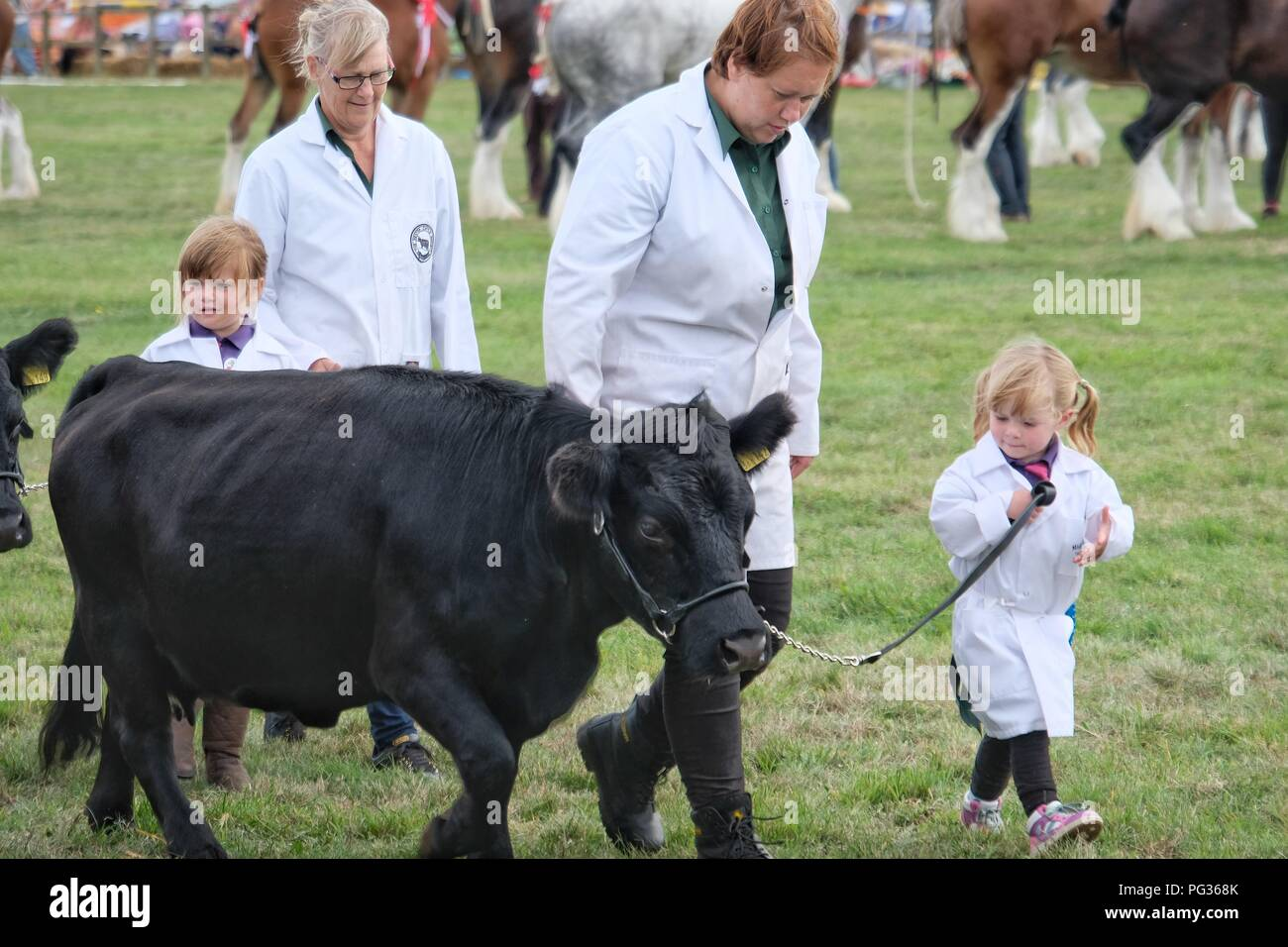 Melplash Show, Bridport, Dorset, UK. 23 August 2018. Prize winning livestock are paraded at the end of the Melplash show in Bridport, Dorset.The one day agricultural show is a showcase and celebration for local farmers, producers, growers and craftspeople and is the South West's premier agricultural exhibition. Credit Tom Corban/Alamy Live News - Stock Image