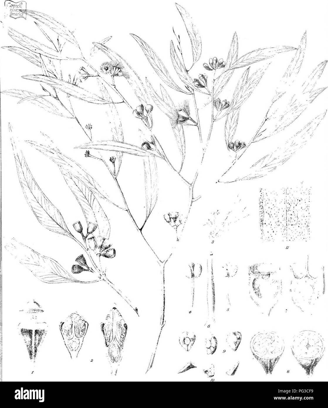 """. Eucalyptographia. A descriptive atlas of the eucalypts of Australia and the adjoining islands;. Eucalyptus; Botany. Todtde! CT-vA!&r>l!;h 7'.'v. iirerj"""":. !i®iilf]pili^ frtsllai fd/ â I.-'r'il.F, Office """"-:1b. Please note that these images are extracted from scanned page images that may have been digitally enhanced for readability - coloration and appearance of these illustrations may not perfectly resemble the original work.. Mueller, Ferdinand von, 1825-1896. Melbourne, J. Ferres, Govt. Print; [etc. ,etc. ] - Stock Image"""