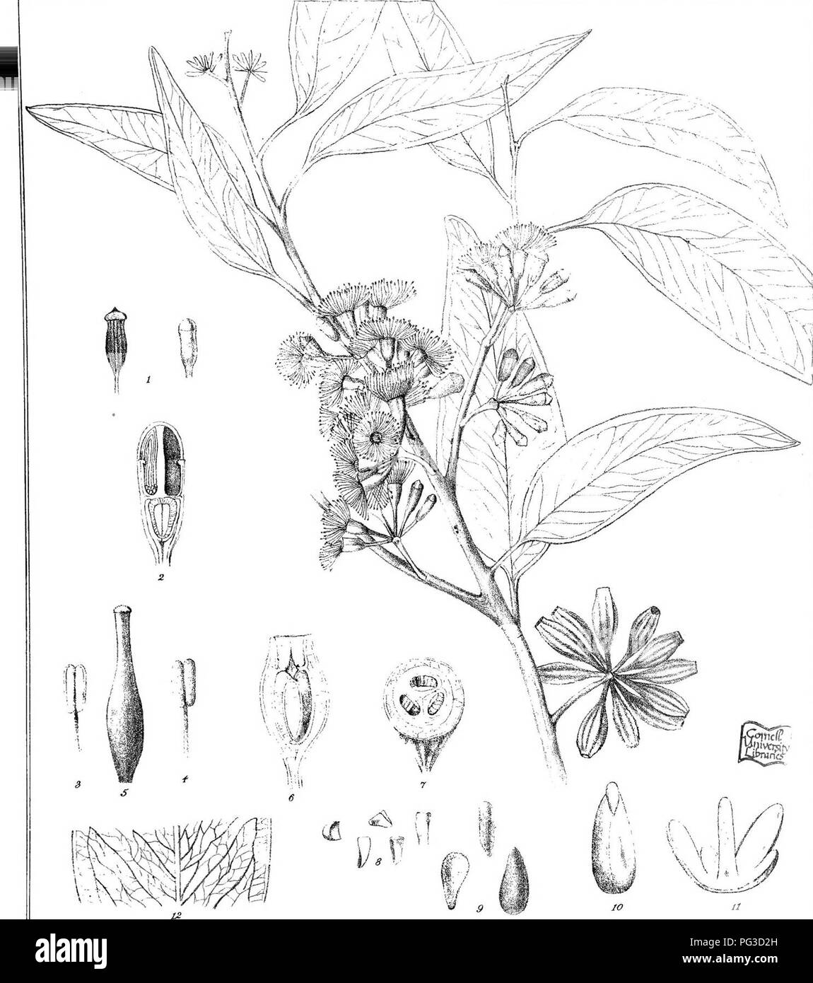 """. Eucalyptographia. A descriptive atlas of the eucalypts of Australia and the adjoining islands;. Eucalyptus; Botany. Rj^usler. d«l. C Troeaa (x C- LilK. P. vM direxil. iKSUlfIptlg S(S)?fKD^HSf^o /"""" Fi/ steam LiXtio Gov. Pririlmg Office Meli.. Please note that these images are extracted from scanned page images that may have been digitally enhanced for readability - coloration and appearance of these illustrations may not perfectly resemble the original work.. Mueller, Ferdinand von, 1825-1896. Melbourne, J. Ferres, Govt. Print; [etc. ,etc. ] - Stock Image"""