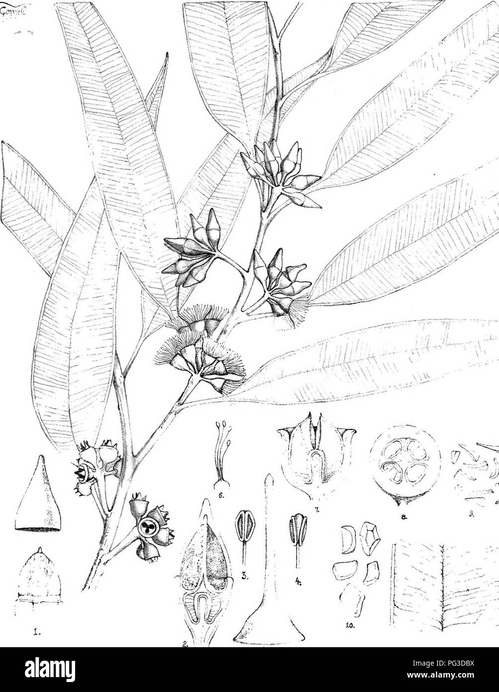 """. Eucalyptographia. A descriptive atlas of the eucalypts of Australia and the adjoining islands;. Eucalyptus; Botany. ^ % J': '''51i/> (7""""% -sJ^ â i3 !' . 1 1 ^V--- _ j ,^- â '-4 ^. .-- ---' ^':''' -â ^ -j 11- SleaiLL Luho Crov """"-ri;i-.-:rR Cfl'^.e V^ lirigiiSfjptliig 5r(ggmafea. .&77^i^. Please note that these images are extracted from scanned page images that may have been digitally enhanced for readability - coloration and appearance of these illustrations may not perfectly resemble the original work.. Mueller, Ferdinand von, 1825-1896. Melbourne, J. Ferres, Govt. Print; [e - Stock Image"""
