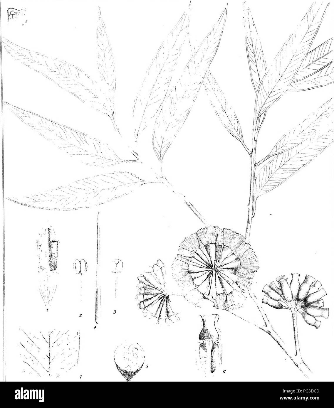 """. Eucalyptographia. A descriptive atlas of the eucalypts of Australia and the adjoining islands;. Eucalyptus; Botany. RAiTstsn del. C.Ti-cedei 8, C» IM. F, T M. direxib. lilEtgHlj^t^l^ ]o&(o)(Blig^