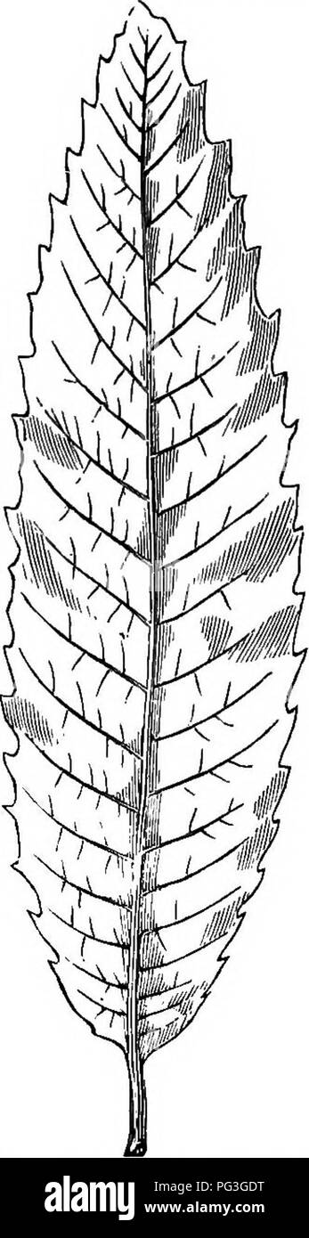 . The nut culturist : a treatise on the propagation, planting and cultivation of nut-bearing trees and shrubs, adapted to the climate of the United States ... Nuts. 88 THE NtlT CULTURIST. cific names of the distinct groups of varieties, whether it be strictly in accord with the ideas of eminent author- ities or otherwise, because it will be more convenient to do so, and certain phases will thus be made clearer to the practical cultivators of nut trees, for whom this work is written. My wish is to assist those who do not know, but want to learn how to obtain, plant and make nut trees grow and b - Stock Image