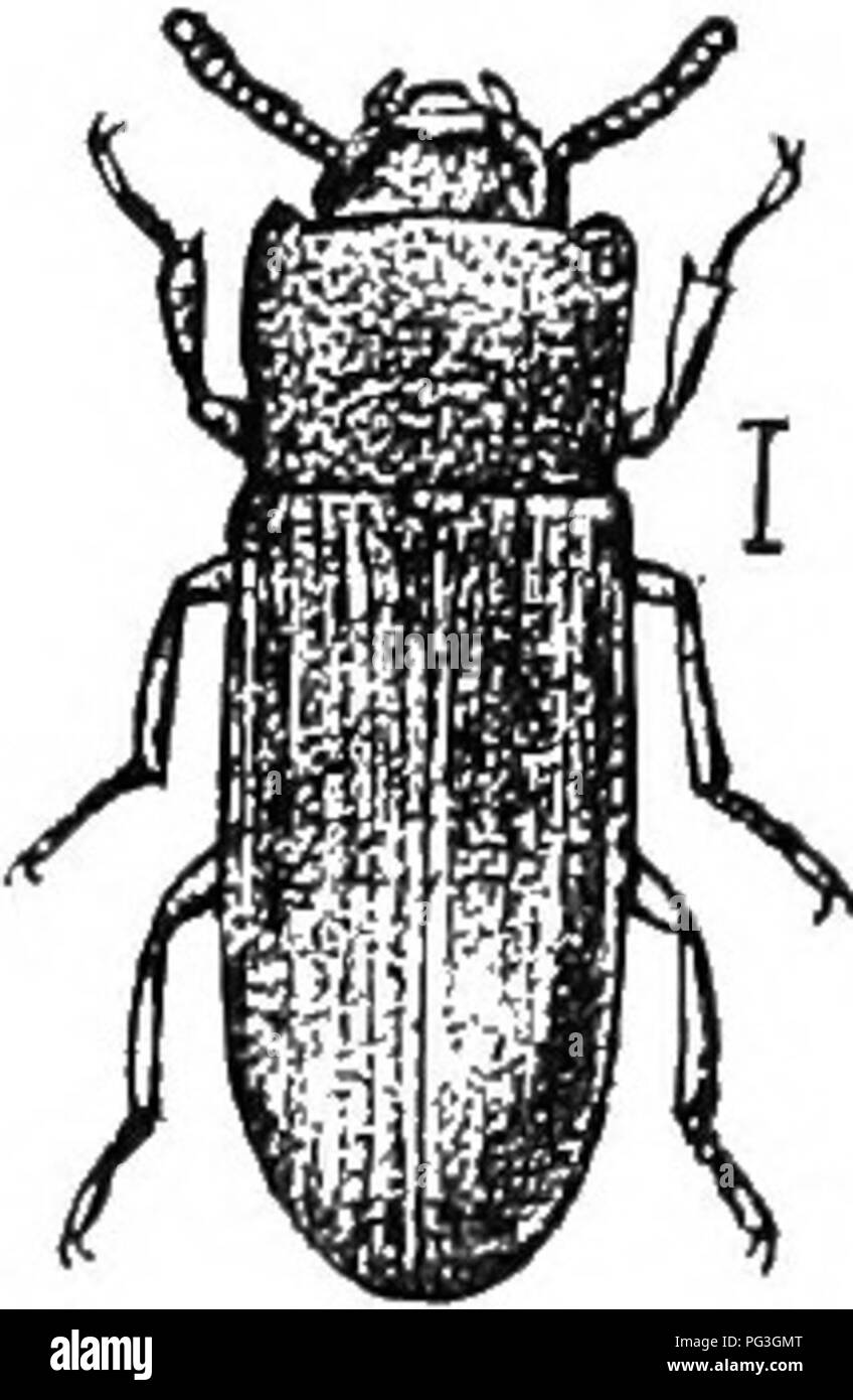 """. An illustrated descriptive catalogue of the coleoptera or beetles (exclusive of the Rhynchophora) known to occur in Indiana : with bibliography and descriptions of new species . Beetles. 1256 FAMILY LV.—TENEBRIONIDiE. XI. Dtcedus Lee. 1862. ( Grr., """"two + swellings."""") Here belongs a single small oblong reddish-brown species having the last two antennal joints suddenly broader, compressed and pilose, the last one being the larger; epipleura3 entire, as broad at apex as at middle; mentum trapezoidal, narrower behind, its front angles distinct. *2.''.20 (7405). DicEnrs punctatus Lee,  Stock Photo"""