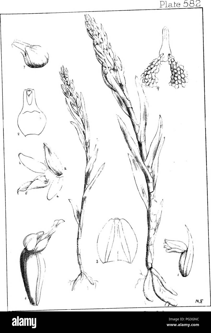 . Natal plants : Descriptions and figures of Natal indigenous plants, with notes on their distribution, economic value, native names, &c., / by J. Medley Wood and Maurice S. Evans. Published under the auspices of Natal Government and Durban Botanic Society. Botany. Zeuxme coclileans. Schlfr.. Please note that these images are extracted from scanned page images that may have been digitally enhanced for readability - coloration and appearance of these illustrations may not perfectly resemble the original work.. Wood, John Medley, 1827-1914; Evans, Maurice S. (Maurice Smethurst), 1854-1920; D - Stock Image