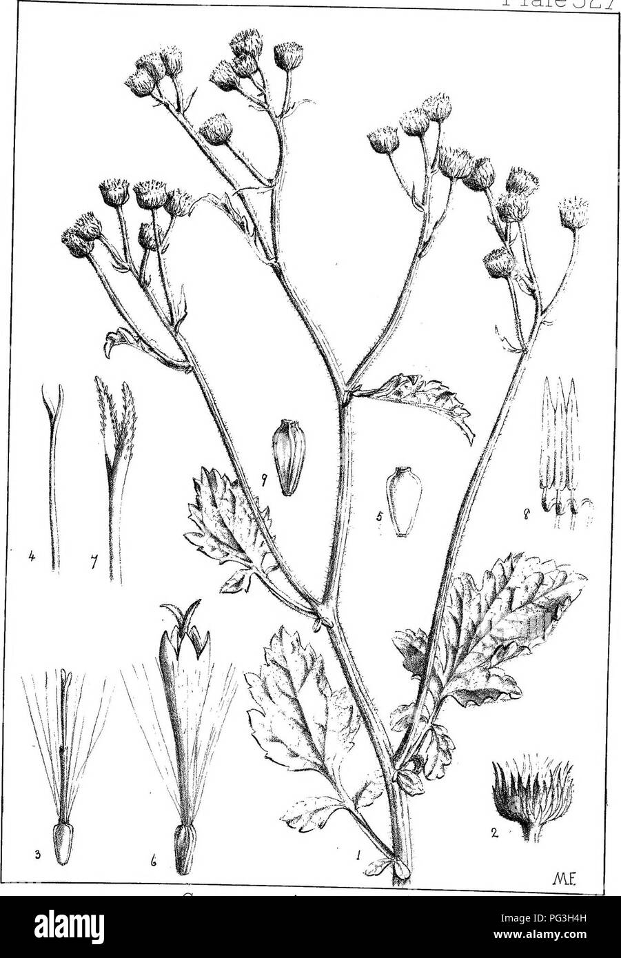 . Natal plants : Descriptions and figures of Natal indigenous plants, with notes on their distribution, economic value, native names, &c., / by J. Medley Wood and Maurice S. Evans. Published under the auspices of Natal Government and Durban Botanic Society. Botany. Plale527. Conyza mcisa, Ail^. Please note that these images are extracted from scanned page images that may have been digitally enhanced for readability - coloration and appearance of these illustrations may not perfectly resemble the original work.. Wood, John Medley, 1827-1914; Evans, Maurice S. (Maurice Smethurst), 1854-1920; - Stock Image