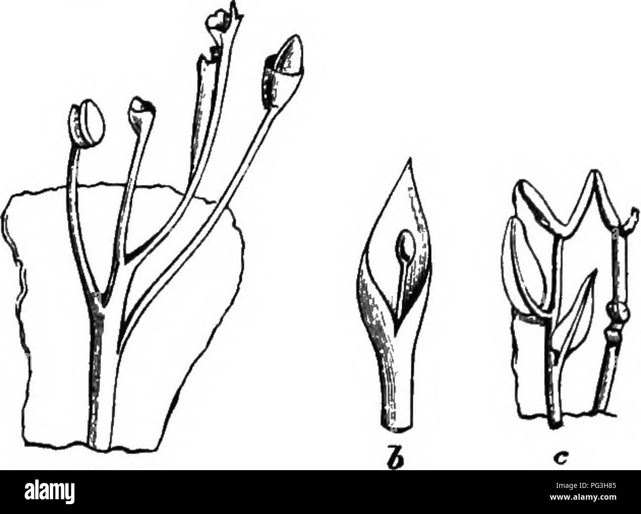 . The origin of floral structures : through insect and other agencies. Plants; Flowers; Flowers. PHYLLODY OF THE FLORAL WHORLS. 305 Pistils -whicli have reverted to a more or less foliaceons character bear ovules whicli often become foliaceons as well; and then a not nncommon proceduro is the develop- ment of a cup-like structure, probably composed of the two ovular coats, on an elongated stalk, with a rudimentary nucellus within, but more or less perfectly free from it; or it may not exist at all. The late Professor Henslow described a monstrous con- dition of Mignonette with figures of ovule - Stock Image