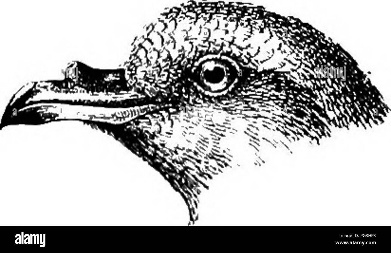 . The birds of South Africa. Birds. OCEANITIDiE OCBANITES 459 778. Oceanites oceanicus. Wilson's Petrel. Proeellaria oceanica, KuJil, Beiti: p. 186 (1820); Gurney, in Anders- son's B. Damaral. p. 351 (1872). Proeellaria wilsoni, Bp., Journ. Acad. Phil, iii, p. 231, pi. 9 (1823). Thalassidroma wilsoni, Grill, K. Vet. AJcad. Handl. ii, no. 10, p. 57 (1858); Laijard, B. S. Afr. p. 359 (1867). Oceanites oceanicus. Dresser, B. Eur. viii, p. 505 pi. 614 (1878); Shai-pe, ed. Lazjard's B. 8. Afr. p. 763 (1884); Swinburne, Proc. E. Phys. 8oc. Edin. ix, p. 197 (1886); Salvin, Cat. B. M. xxv, p. 358 (189 - Stock Image
