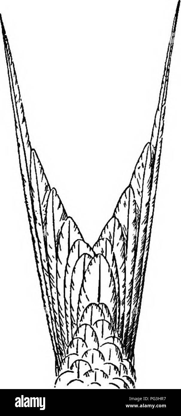 . The birds of South Africa. Birds. STEENIDJ3 STERNA Genus II. STERNA. 433 Type. hirundo. Sterna, Linn. Syst. Nat. 12th ed. i, p. 227 (1766) ... Bill long, pointed, and somewhat compressed, both mandibles of equal length; nostrils elongated ovals in the basal half of the bill; wings very long and pointed, first primary the longest; tail more or less forked, the outer feathers elongated, attenuated and pointed sometimes to a very considerable extent; tarsus short, less than the middle toe and claws; toes fully webbed.. Fig. 138.—Tail of Sterna viltata. Saunders recognises thirty-three species o - Stock Image