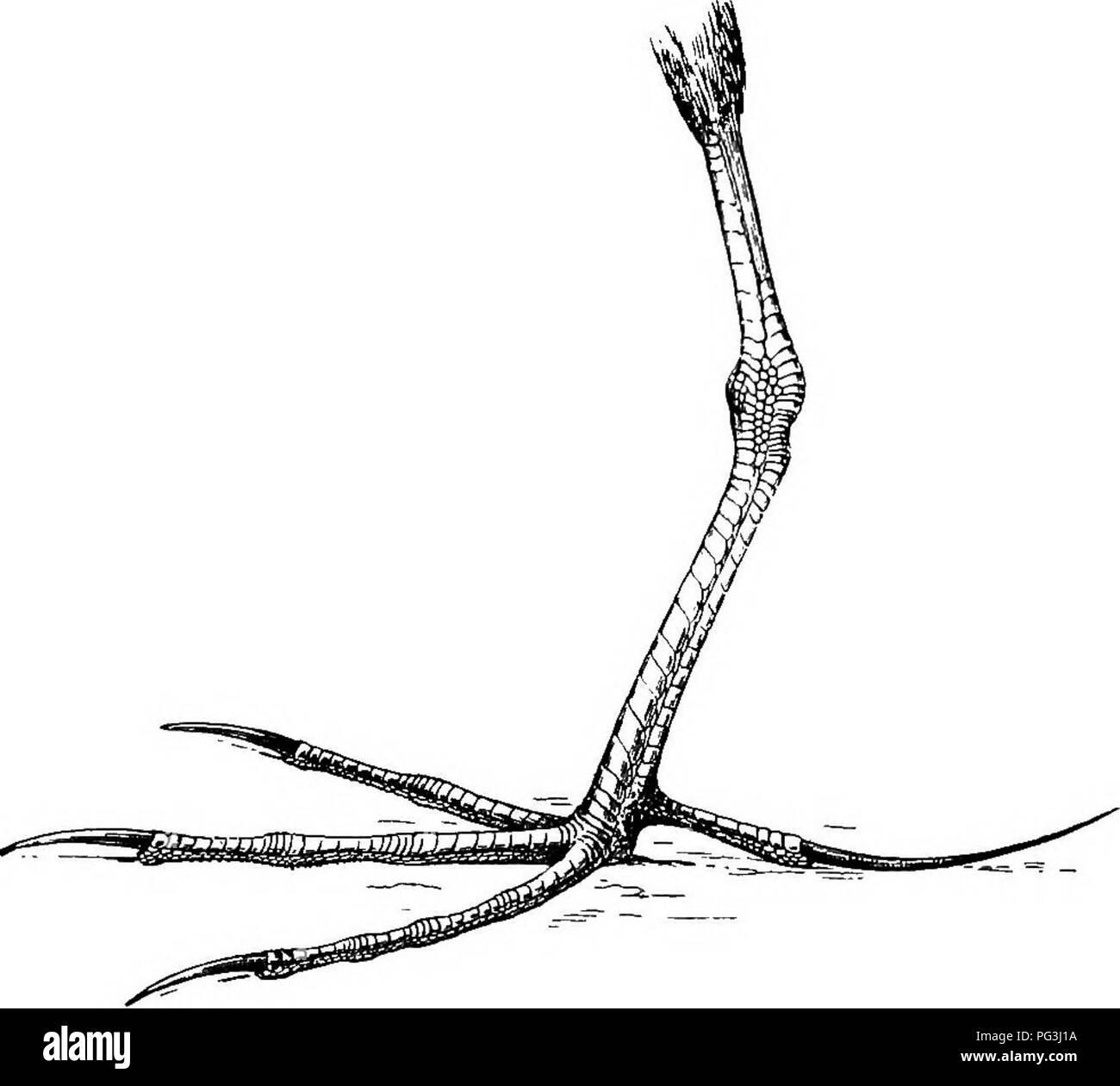 . The birds of South Africa. Birds. 338 PAEEIDJ3 ACTOPHILUS 713. Actophilus africanus. African Jacana. Parra africana, Gmel. Syst. Nat. i, p. 709 (1788); Swains. Zool. Illustr., 2nd ser., pi. 6 (1829); Gurney, Ibis, 1859, p. 249, 1862, p. 38 [Natal] ; KirJc, Ibis, 1864, p. 334; Layard, B. S. Afr. p. 335 (1867); Gurney, in Andersson's B. Bamaral. p. 328 (1872); Shelley, Ibis, 1875, p. 86; Forbes, P. Z. S. 1881, p. 639; Holub ^ Pelzeln, Om. Sud-Afr. p. 296 (1882); Shelley, Ibis, 1882, p. 367 [Koomoorooi. Fig. 108.—Left foot of ActopMlus africanus. x I. Pan] ; Sharpe, ed. Bayard's B. S. Afr. p. 6 - Stock Image