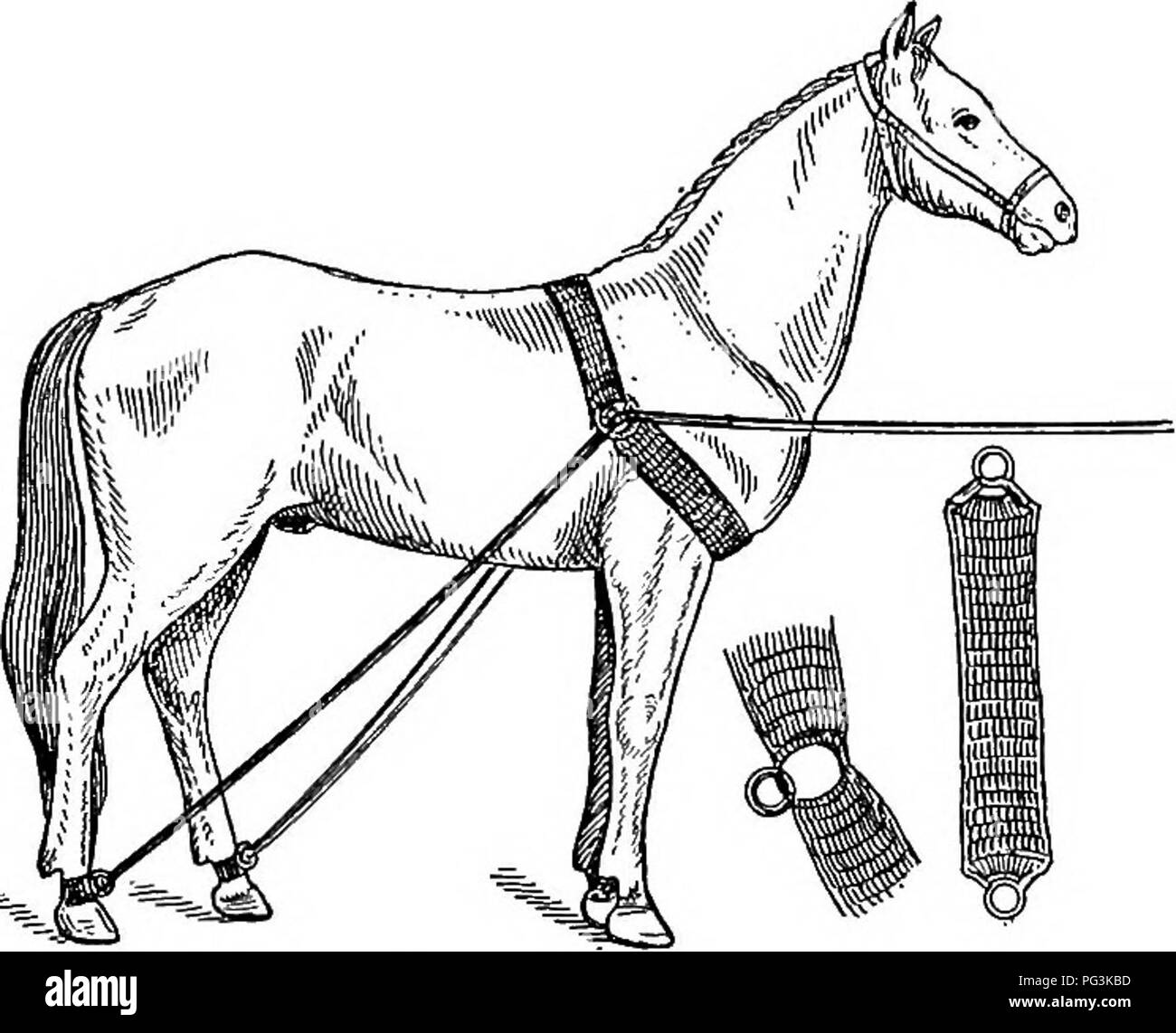 . The horse in health and disease : a text-book pertaining to veterinary science for agricultural students . Horses; Horses. METHODS OF RESTRAINT AND COMMON OPERATIONS 185 Knowles' casting harness is simple in construction, besides being cheap, durable, and easy to apply (Fig. 58). It consists of a wide web collar, from which ropes extend backward on each side to the hind pasterns. The free ends of the ropes are used to tie the feet. Fig. 58.—Knowles' casting harness. and legs after the animal is thrown. An improvised harness for emergency use to answer the same purpose can be constructed on t Stock Photo