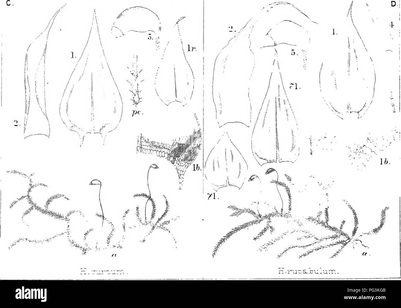 . The British moss-flora. Mosses. ri. caiTi'p e 5-i- e.. EBr^'irl,^^'i-7t(f tulrtnt dal^ KM.M!r,tern »c. Jfmbem. Brts i«p.. Please note that these images are extracted from scanned page images that may have been digitally enhanced for readability - coloration and appearance of these illustrations may not perfectly resemble the original work.. Braithwaite, Robert, 1824-1917. London - Stock Image