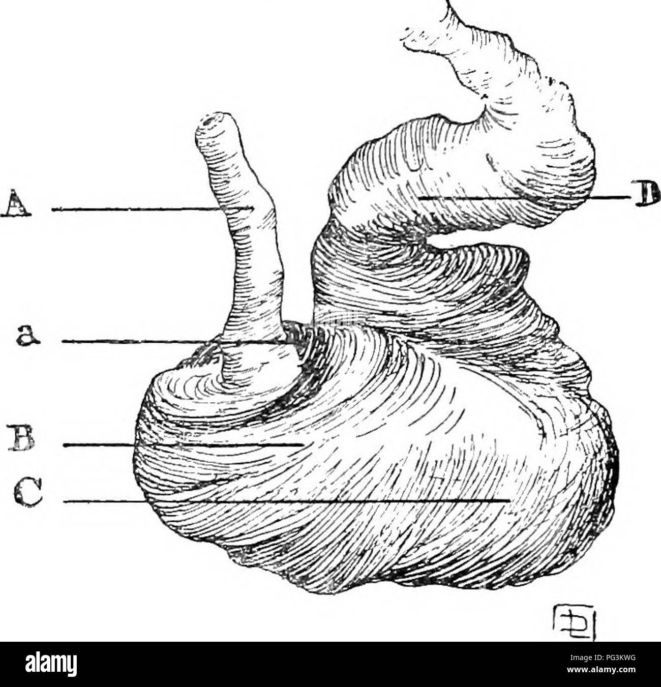 . The common colics of the horse : their causes, symptoms, diagnosis, and treatment . Horses; Colic. i8 THE COMMON COLICS OF THE HORSE left sac, which it completely covers, leaving the right sac (indicated by the dotted lines) uncovered. In the lesser curvature its fibres become somewhat abruptly lost, while the greater curvature retains them to the entire envelop- ment of the underneath surface of the right sac, on whose upper surface they become gradually obliterated.. Fig. 5.—Middle Muscular Coat of Stomach. H, Circular fibres (in one posilion lined more blackly than their neighbours). Ther Stock Photo