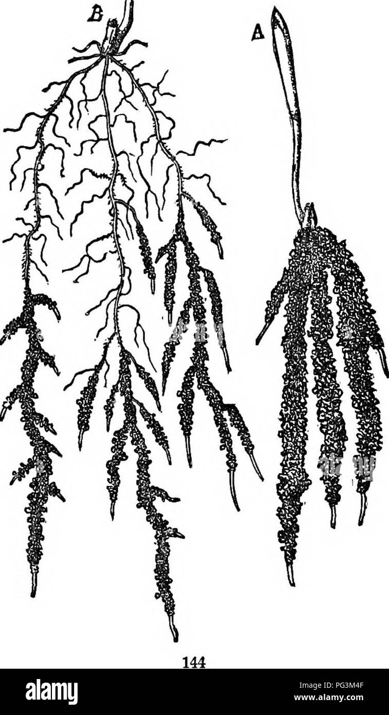 . Physiological botany; I. Outlines of the histology of phænogamous plants. II. Vegetable physiology. Plant physiology; Plant anatomy. EXTENT OF KOOT-SYSTEMS. 233 Silver Fir 1 meter. Norway Spruce 2 meters. Scotch Pine 12 meters. All the plants upon which these averages are based were grown under the same conditions. 627. When an}- plant is lifted, even with great care, from the soil in which it has grown, man}- of its more delicate root- lets are torn off and left behind. Hence it is difficult to ascertain the total amount of roots belonging to a plant. Even the best plan yet devised for clea - Stock Image