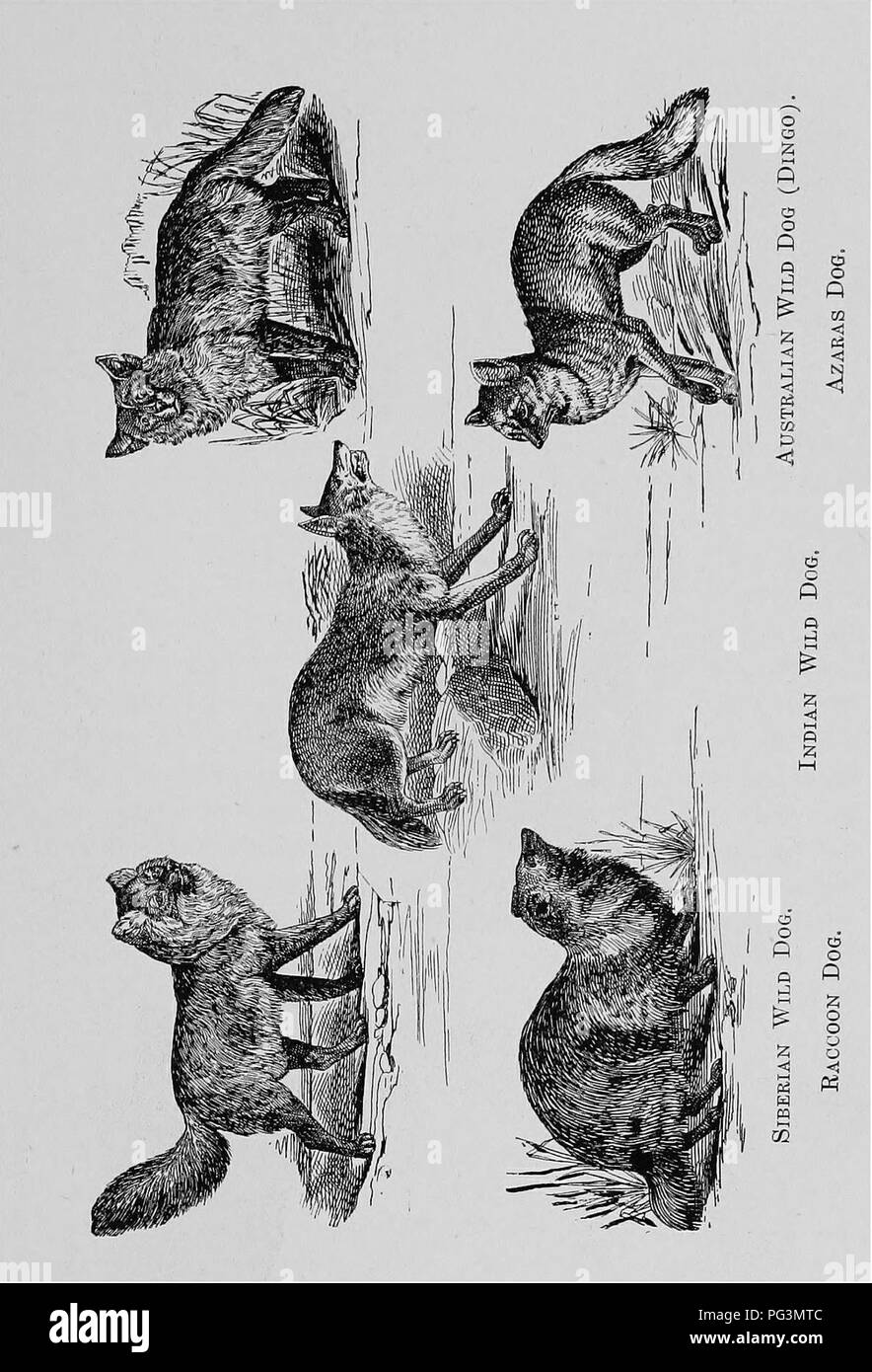. The fur traders and fur bearing animals. Fur trade; Fur-bearing animals. Wild Dogs. 155. Please note that these images are extracted from scanned page images that may have been digitally enhanced for readability - coloration and appearance of these illustrations may not perfectly resemble the original work.. Petersen, Marcus, 1854-. Buffalo, N. Y. , Hammond Press Stock Photo