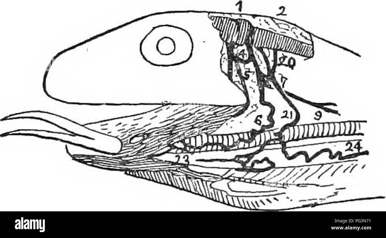 . Anniversary memoirs of the Boston society of natural history ; pub. in celebration of the fiftieth anniversary of the Society's foundation. 1830-1880. Natural history; Indians of North America. 10 MINOT ON THE TONGUE fibres of which are longitudinal and attached anteriorly to the hyoid. None of the ntrinsic muscles have been, so far as I am aware, previously described, and the elon- gation of the .tongue itself has not been hitherto taken into account. My own observations upon the nerves which supply the tongue are fragmentary and unsatisfactory, as I have unfortunately been unable to obtain - Stock Image