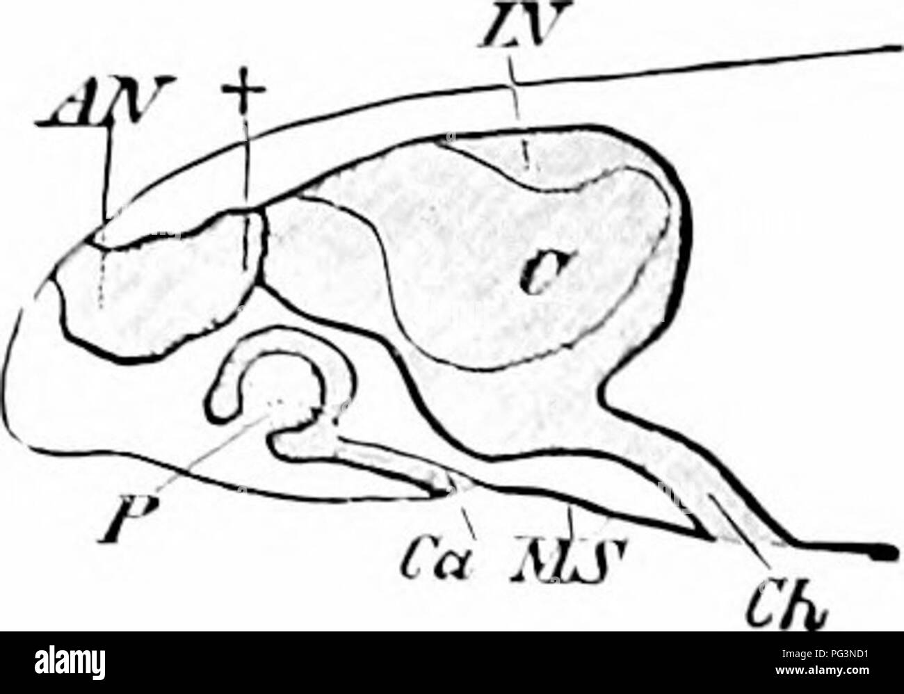 a manual of zoology zoology fig 52q fig fig 520 section of KCA University section of olfactory cpilliclium of a lisli bdoiic from o ilcrtwig after blaue c epitlielium k olfactory buds ner es fig c o