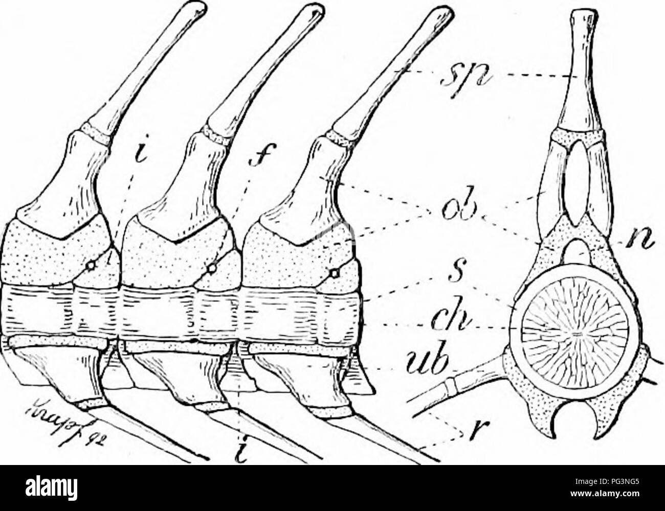 a manual of zoology zoology iv vertebrata 453 cyclostome and Hydra Anatomy Diagram iv vertebrata 453 cyclostome and lower figs 511 512 or neural and immal arches these consist of paired parts in the skeletogenous layer which abut