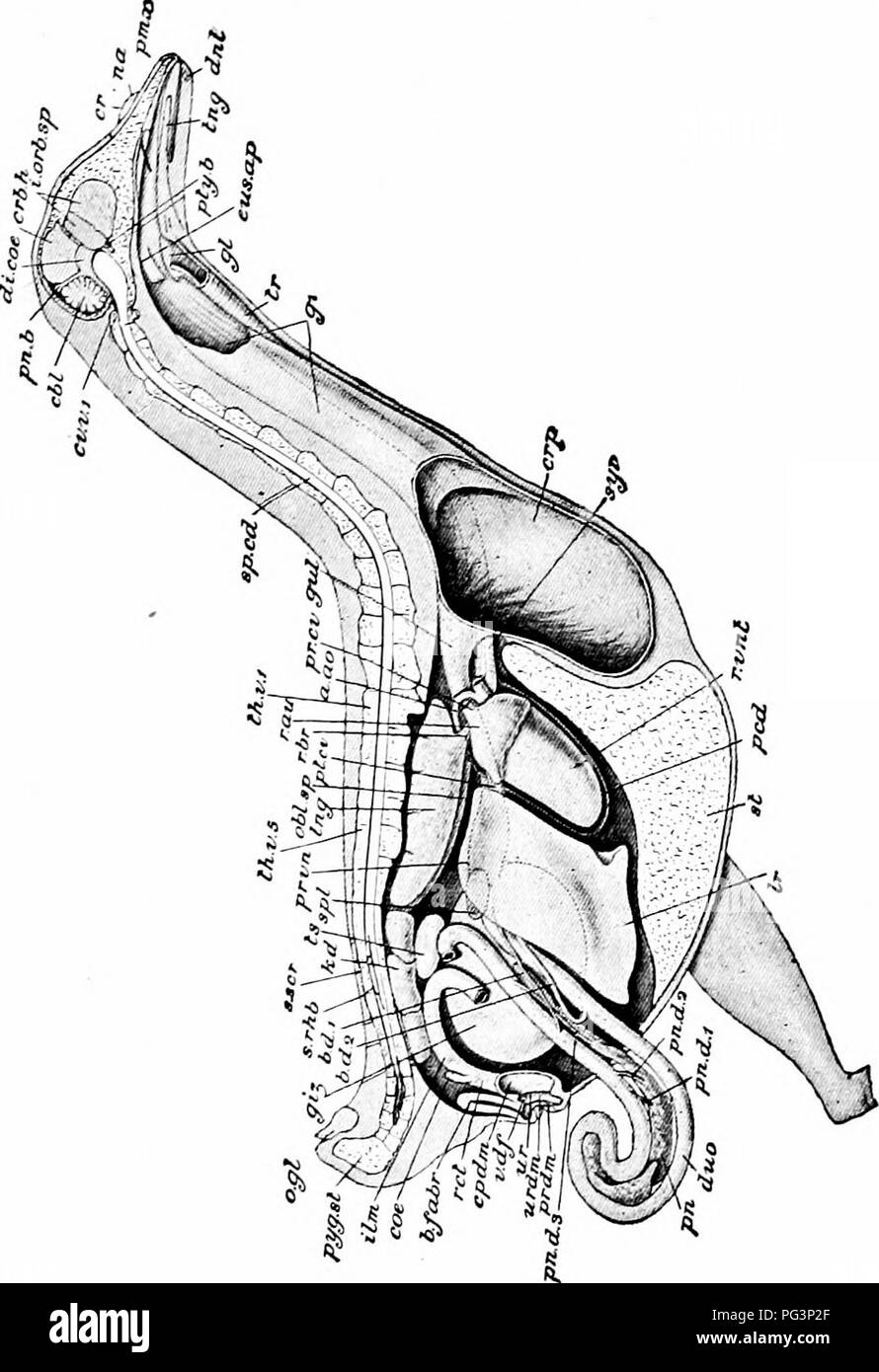 . A manual of zoology. . Fig. 287— Columba livia. Dissection from the right side. The body-wall, with the vertebral column, sternum, brain, etc., are in sagittal section : portions of the gullet and crop are cut away and the cloaca is opened; nearly the whole of the ilium is removed, and the duodenum is displaced outwards, a. ao, aortic arch; bd. I, bd. 2, bile-ducts; b. fabr, bursa Fabricii; cbl, cerebellum; ccc, right ccecum; cpdm, coprodaeum; cr, cere; crb. h, left cerebral hemisphere; crfi, crop; cr. 7>. /, first cervical vertebrae; di. coe, diacccle; dj/t, dentary; dito, duodenum; cits - Stock Image