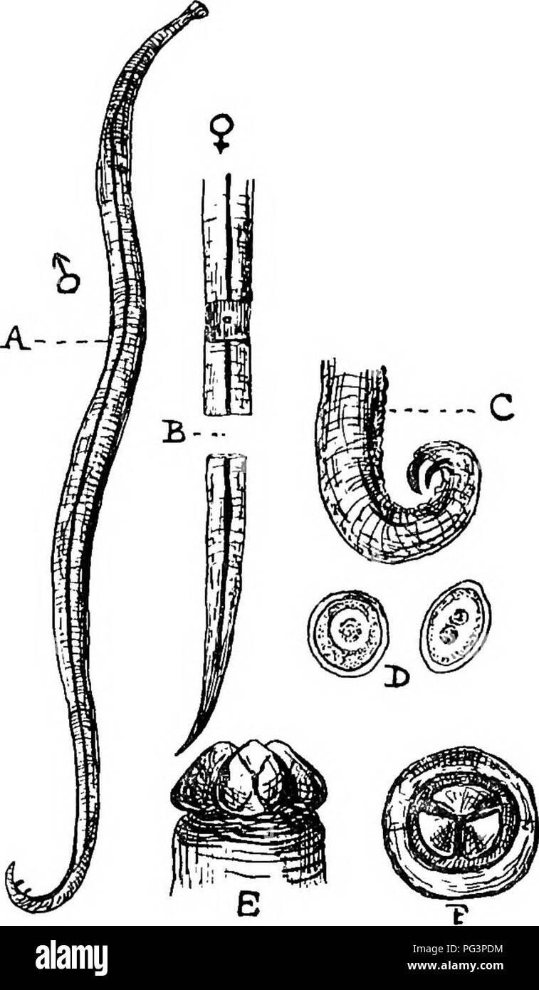 . A text-book of agricultural zoology. Zoology, Economic. ASCAEIDjE and FILAEIDjE. 75 colour, sligMly ridged, and about ten inches long in the ? and six in the male. This worm is common in all Equidce, but only affects seriously young animals. They produce colics and digestive disturbances, and sometimes so obstruct the intestine as to cause death. The ova are nearly globular bodies, and are seemingly introduced into the horse in drink- ing water. A. milla (fig. 27) is often found in the pig. The male is from four to six inches long, the female often as much as eight. It is found in the small  - Stock Image