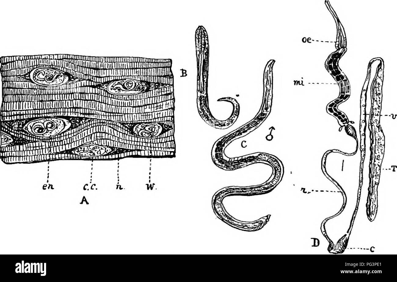 . A text-book of agricultural zoology. Zoology, Economic. TEICHINOSIS. 69 The ova soon hatch in the alimentary canal of the host, and the larvae derived from them commence to lay eggs about six or seven days after their entry. Often by the second day after ingestion the larvse commence to mature; by the fourth day they become mature. The young worms when they come from the ova are extremely minute cylindrical bodies, only Tj-Vifth of an iQch in.length. They soon commence to bore their 14-vd.. Fia. 25.—Tbichina sfibalis. A, Piece of diseased pork (much enlarged): en, cyst; c.c, capsule: w, ency - Stock Image