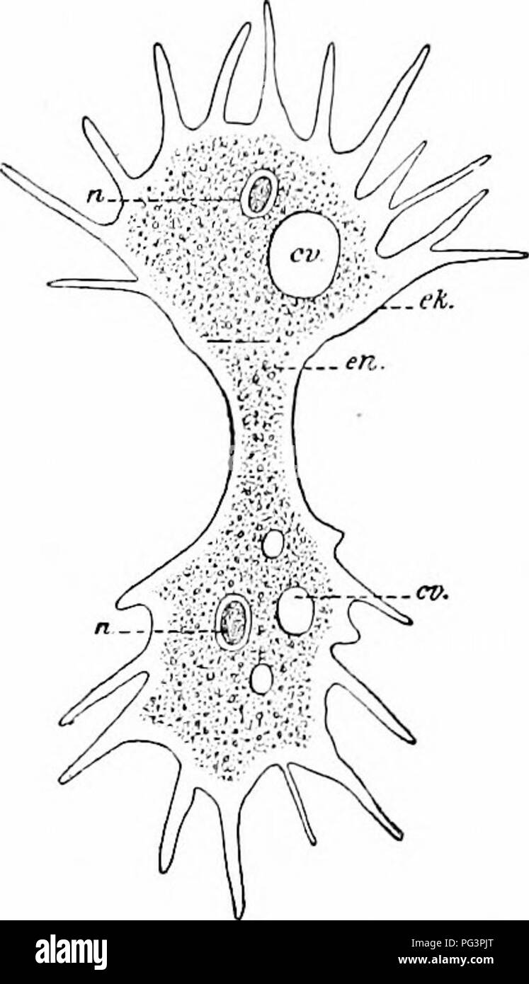 . A manual of zoology. Zoology. I. RHIZOPODA: HELIOZOA 173 a single (sometimes several) nucleus (w), which is vesicular, and contains either one large or several smaller nucleoli. A contractile vacuole is usually present. Reproduction occurs by binary or multiple division (fig. 120), and encystment has been observed, the protoplasm dividing into many hundred small amoeba;, a phenomenon always connected wdth fertilization processes (au- togamy?). Most Lobosa occur in fresh water; A. terricola in moist earth. There are also parasites like A. coli, rare in colder climates, frequently observed in  - Stock Image