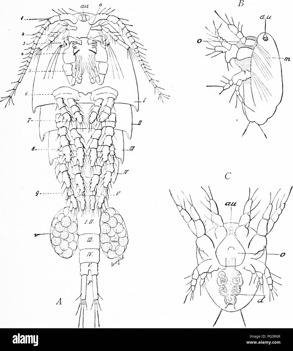 """. A manual of zoology. Zoology. HISTORY OF ZOOLOGY 29 and then the cyclops-stage, because their ancestors were once fish-Iikc, perennibranchiate-like, nauplius- and cyclops-hke. Here is expressed a general phenomenon which Haeckel has stated under the name of 'the Fundamental Law of Biogenesis.' """"The development history (ontogeny). Fig. 7.—Cyclops coronatus {A) and also its nauplius in lateral (B) and in ventral view (C). /, head; II-V, the five thoracic, and behind the.se the five abdominal segments; F, furca; i, the first, 2, the second, antenna;; 3, mandibles; 4, ma.xillx>; 5, maxil Stock Photo"""