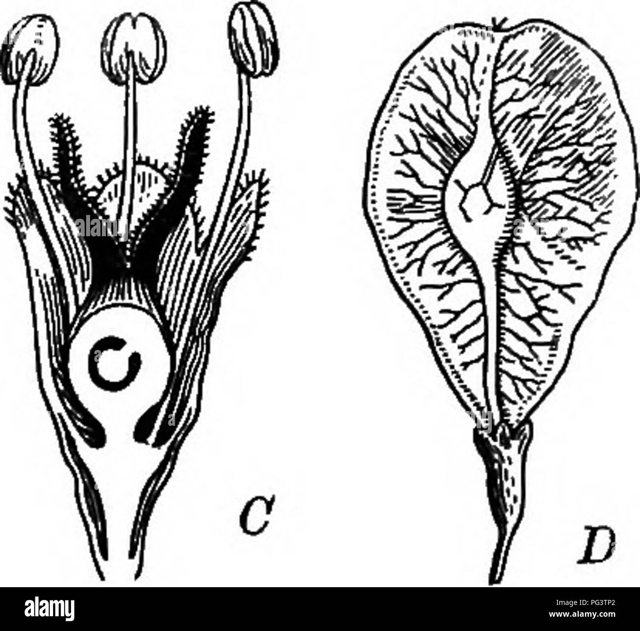 . Foundations of botany. Botany; Botany. Fig. 9. — Ulmus campestris. At a flowering twig ; B, a flower; C, longitudinal section of a flower; jD, a fmit. I. ULMUS, L. Trees with straight-veined, unsymmetrical, doubly serrate leaves; stipules early deciduous. Flowers perfect, calyx bell-shaped, 4-9-cleft. Stamens slender, protruding. Ovary compressed, styles 2, spreading. Fruit membranaceous, flat, winged on the edge.*. Please note that these images are extracted from scanned page images that may have been digitally enhanced for readability - coloration and appearance of these illustrations may  - Stock Image