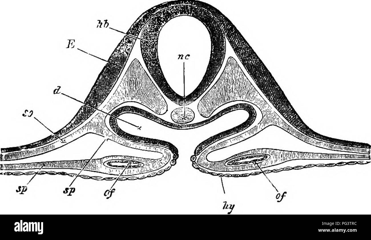 The elements of embryology . Embryology. B. Two Diagrammatic Sections of a  thirty .