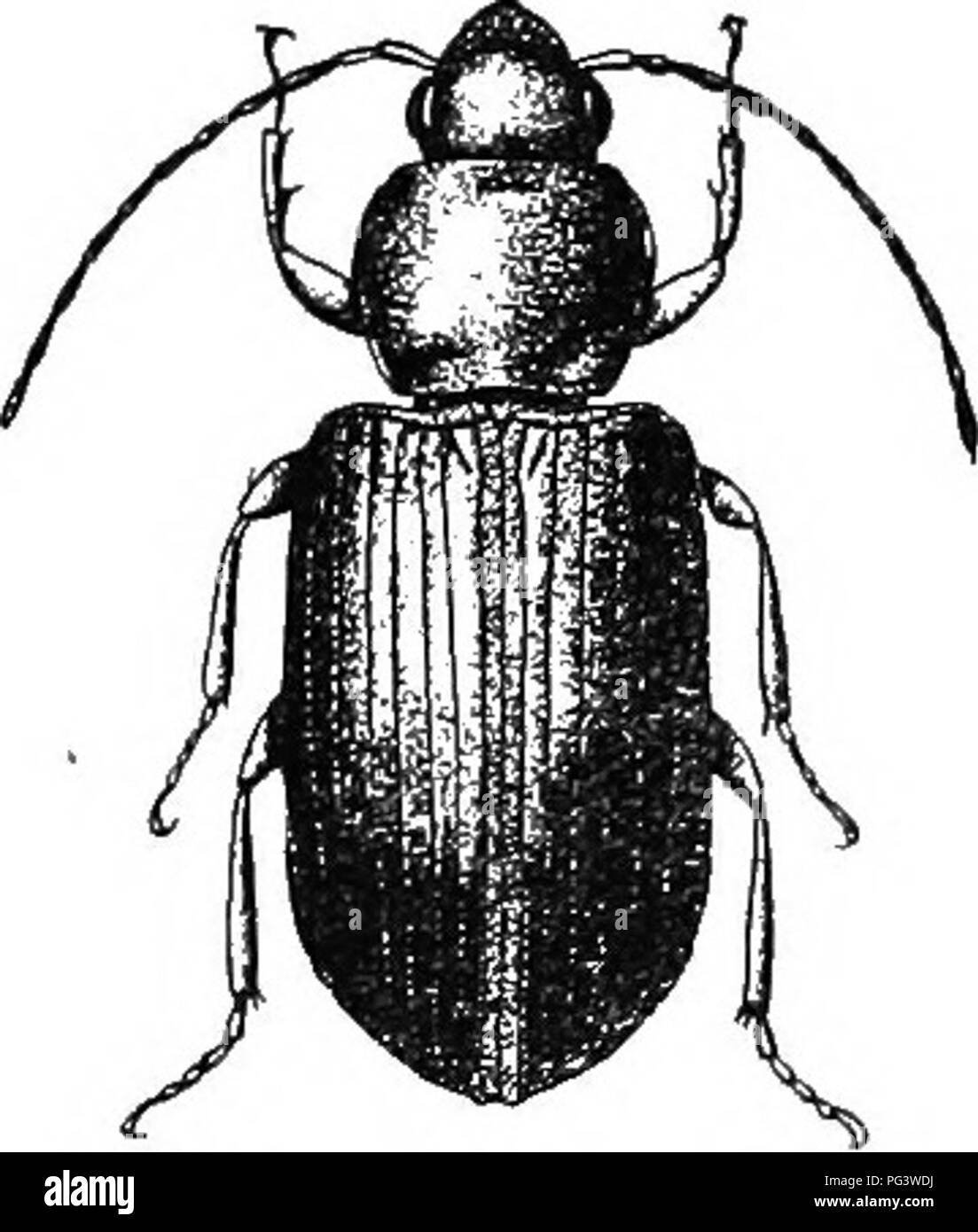 An illustrated descriptive catalogue of the coleoptera or