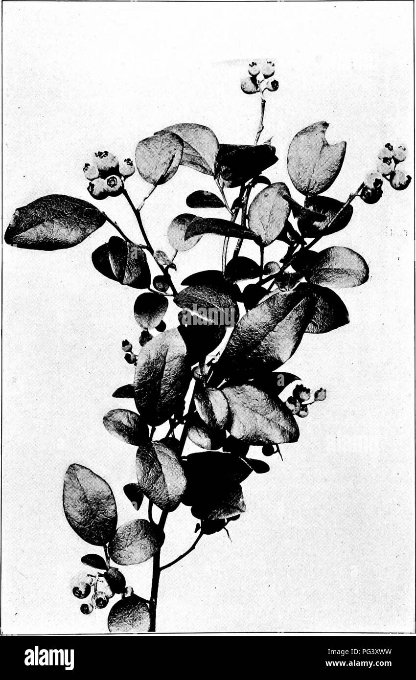 . Our northern shrubs and how to identify them : a handbook for the nature-lover . Shrubs. LOW BLUEBERRY. Low Blueberry, Vaccinmm vacillans Leaves i' to 2^' long. Fruit iV to ^' in diameter.. Please note that these images are extracted from scanned page images that may have been digitally enhanced for readability - coloration and appearance of these illustrations may not perfectly resemble the original work.. Keeler, Harriet L. (Harriet Louise), 1846-1921. New York : Charles Scribner's Sons - Stock Image