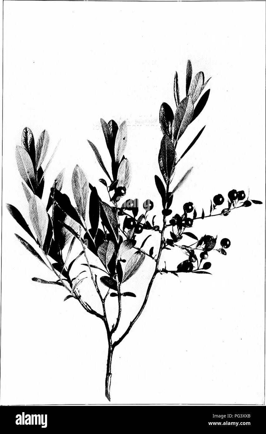 . Our northern shrubs and how to identify them : a handbook for the nature-lover . Shrubs. DWARF HUCKLEBERRY. Dwarf Huckleberry, Gaylussacia clnmosa. Leaves ]' to iy2' long. Fruit y to W in diameter.. Please note that these images are extracted from scanned page images that may have been digitally enhanced for readability - coloration and appearance of these illustrations may not perfectly resemble the original work.. Keeler, Harriet L. (Harriet Louise), 1846-1921. New York : Charles Scribner's Sons - Stock Image