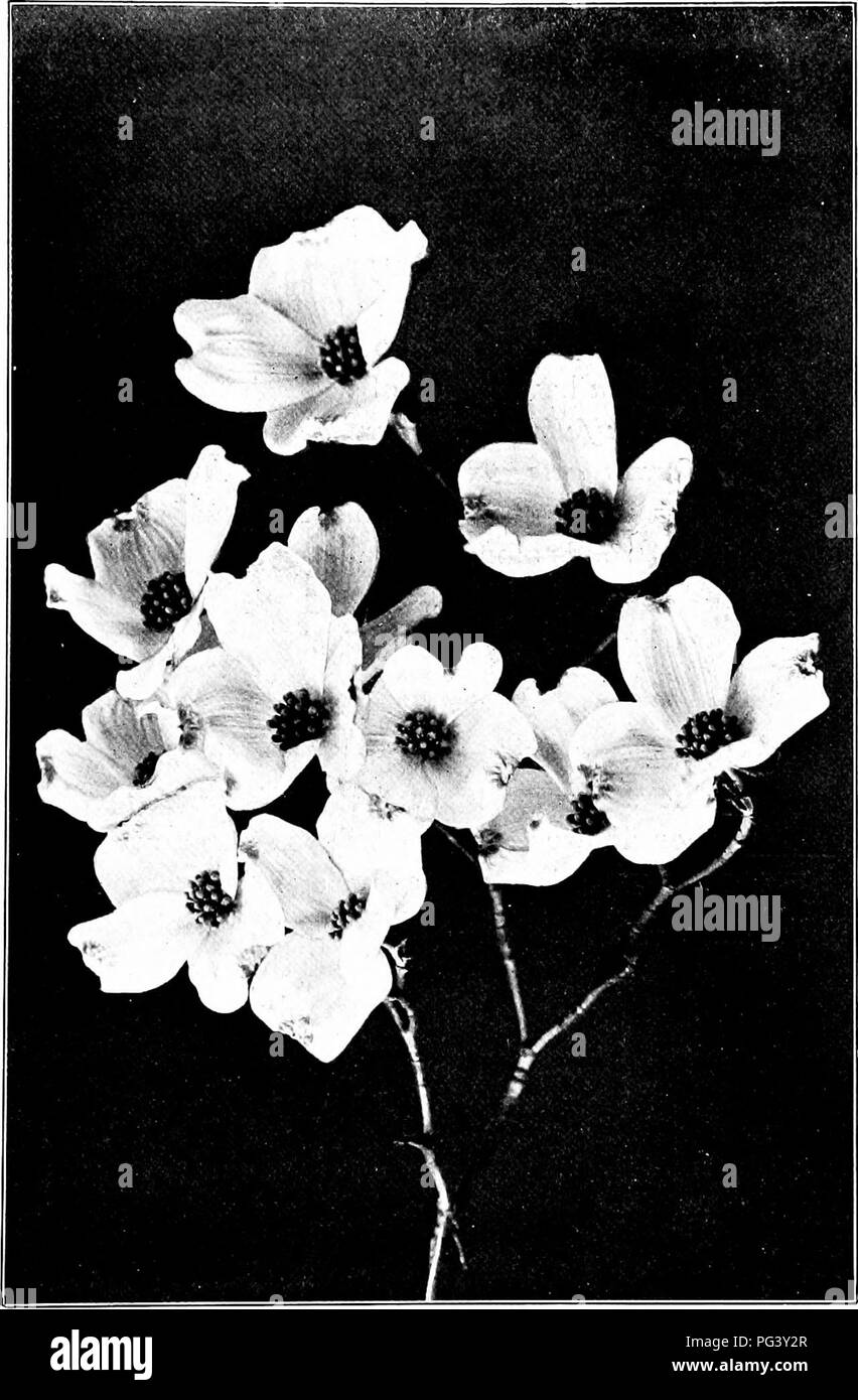 . Our northern shrubs and how to identify them : a handbook for the nature-lover . Shrubs. FLOWERING DOGWOOD. Flowering Dogwood, Cormis florida. Spread of the Flower-br.icts 2' to ^f.. Please note that these images are extracted from scanned page images that may have been digitally enhanced for readability - coloration and appearance of these illustrations may not perfectly resemble the original work.. Keeler, Harriet L. (Harriet Louise), 1846-1921. New York : Charles Scribner's Sons - Stock Image