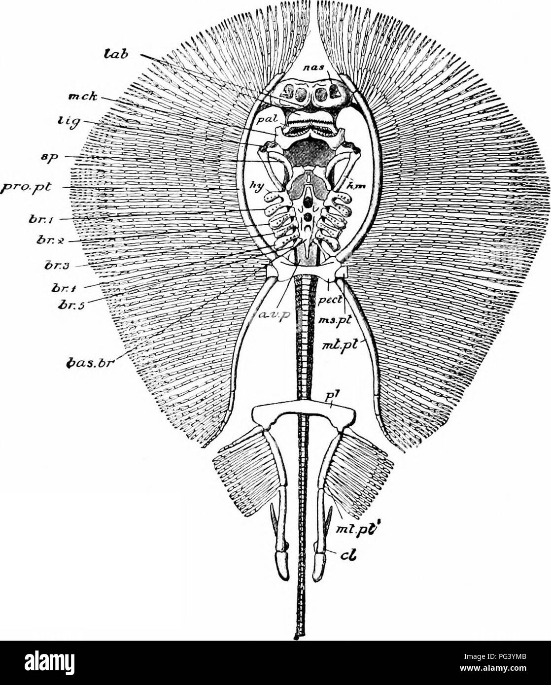 . A manual of zoology. 39° MANUAL OF ZOOLOGY may be nearly completely cartilaginous {Hcxanchus and Heptanchus), but usually the centra are strengthened by. Fig. 233. — Skeleton of sting-ray (UrolophUS testaceus), ventral view, a.v.p, anterior vertebral plate; bas. br, basi-branchial plate; br. i-br. j, branchial arches. The branchial rays are represented as having been removed, the round dots indicate their articulations with the arches cl, skeleton of clasper; h, m, hyomandibular; Jty. hyoid arch; lab, labial cartilage; lig, ligament connecting the hyomandibular with the palato-quadrate and M - Stock Image