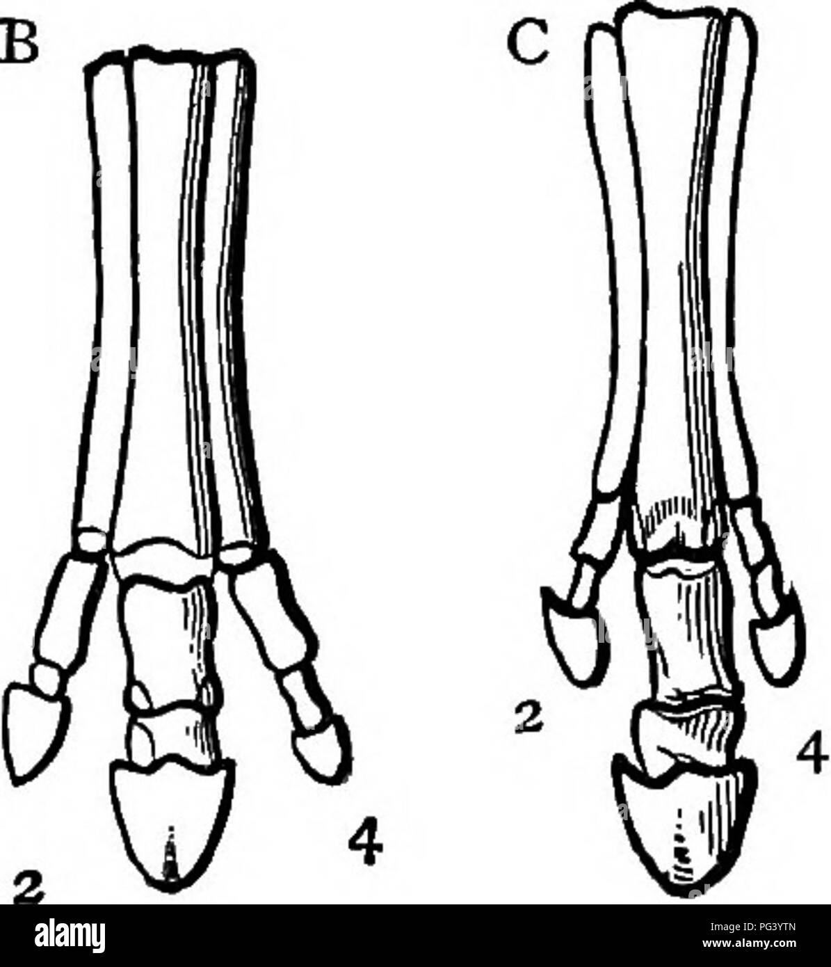 . A text-book of agricultural zoology. Zoology, Economic. 3 â 3 3 3 Fig. 209.âSkeleton of Foot in various forms of Equid^. A, Orohippos (Eocene); b, AncJntherium (Upper Eocene and Lower and Upper Mio- cene) ; 0, Hipparion (Upper Miooeiie and Pliocene); r>, Eguus (Pliocene and Becent). (Nicholson, after Marsh.) There seem to be two distinct lines of descent, one in America and one in Europe. In America the stages are Eohippos, Orohippos, Mesohippos, Miohippos, Protohippos, Pliohippos, and Equus. In Europe, Hyracotherium, Palseotherium, Anchi- therium, Hipparion, and Equus.^ ^ The living and  - Stock Image