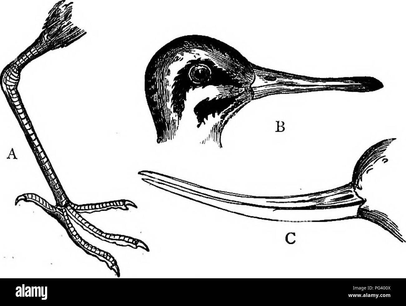 . A text-book of agricultural zoology. Zoology, Economic. 378 BRITISH BIEDS. long bills, which may be straight or curved; the three forward toes may be partially webbed as in the Avocet {Recurvirostra avocetta), or lobed as in the Phalaropes (Phcdaropus), or united at their base by webbing as in the Curlew {Numenius arqmta),'. Fig. 190.—SooLOPAom^ A, Leg and foot of Curlew; e, Head of Snipe; c, Beak of Avocet. (Nicholson.) but many are free. The legs are usually long and slender and adapted to wading (fig. 190). The basal webbing of the foot is not shown in the fisure. G-DLLS AND Teens (Gavi^) - Stock Image