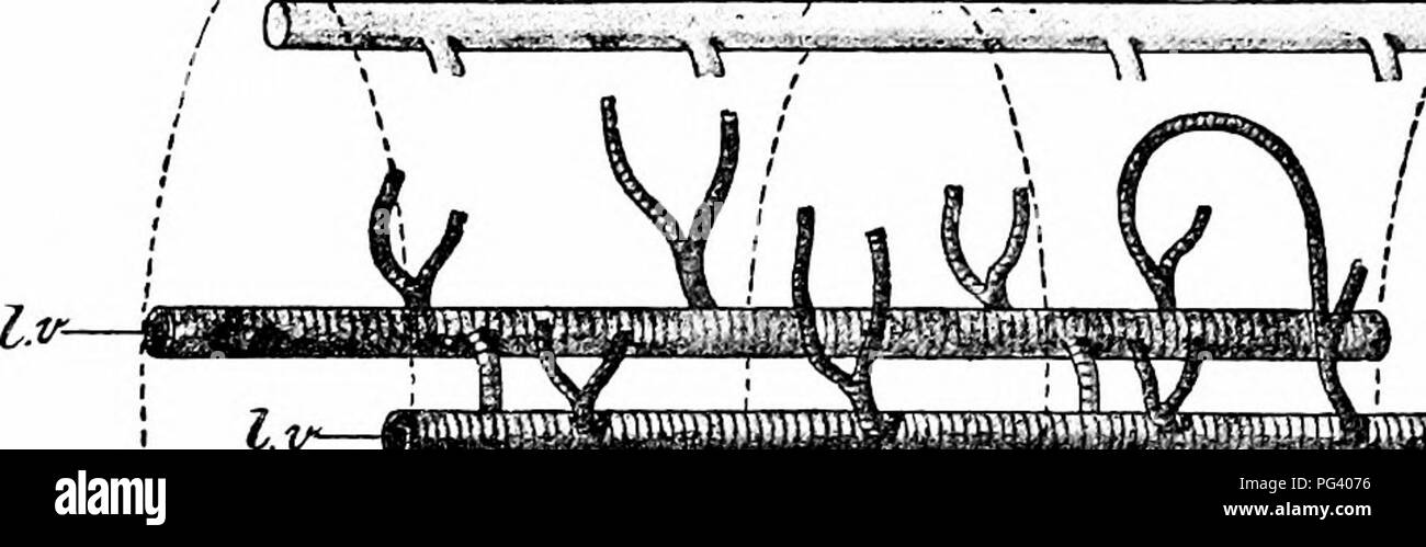 """. A manual of zoology. 210 MANUAL OF ZOOLOGY sect. very similar to that of the eyes. The function of the lateral sense organs is unknown. The leech is moncecious. There are nine pairs of testes (Fig. 119, ts), in the form of small spherical sacs situated in segments 12-20. Each gives off from its outer surface a narrow efferent duet, which opens into a common vas deferens (v. d). In the tenth segment the vas deferens increases in width and forms a complex coil, the vesicula seminalis d.e """".^-,^v-,-,-,--^.. J  imwi5^:,m)>p»mm»!^-;iW!v»vw«w""""i-'.,«.-,..iniv m»w'i -.-,.«. Please note that - Stock Image"""