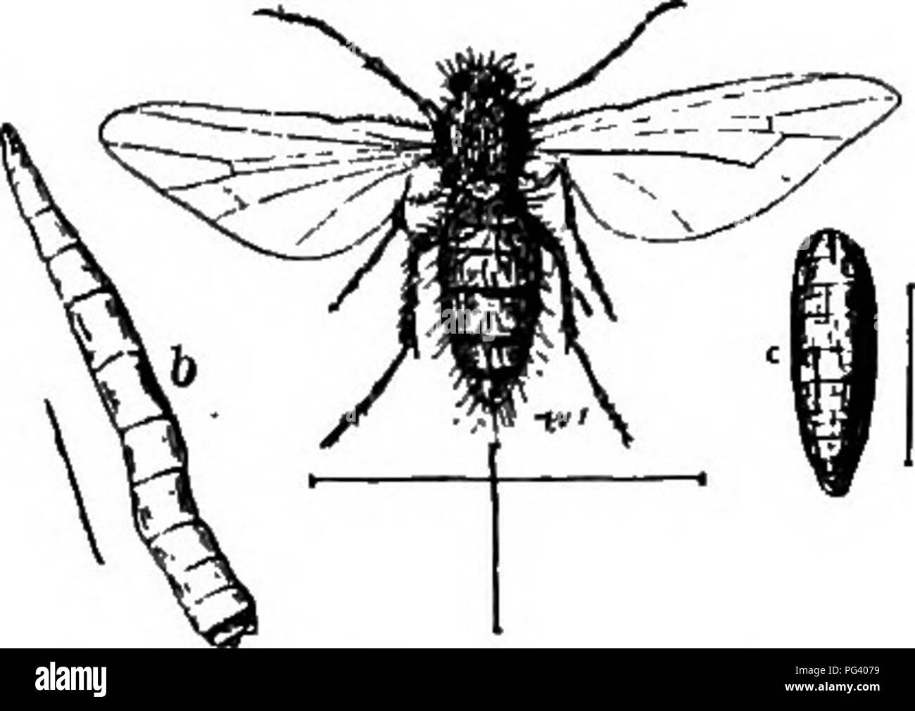 true fly black and white stock photos images alamy Construct-Bots Cliffjumper a text book of agricultural zoology zoology economic diptera or true