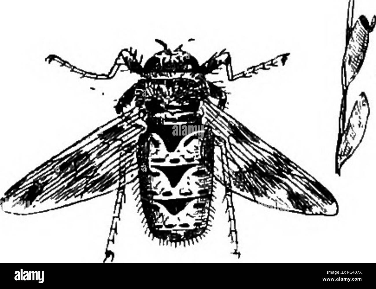 . A text-book of agricultural zoology. Zoology, Economic. 214 DIPTEEA OE TEUE FLIES. (Gomurus cerebralis) by the copious mucous discharge from the nostrils, and the absence of that rotatory movement seen in sheep suffering from Sturdy. Prevention and Treatment consist in warding off the ily attack by either placing some substance on the sheep's nose every now and then, such as strong smelling oils, removing them for a year from pastures that are known to be contaminated with the puparia, and placing salt in tarred boxes, so that the sheep get the creosote on their noses whilst licking the salt - Stock Image