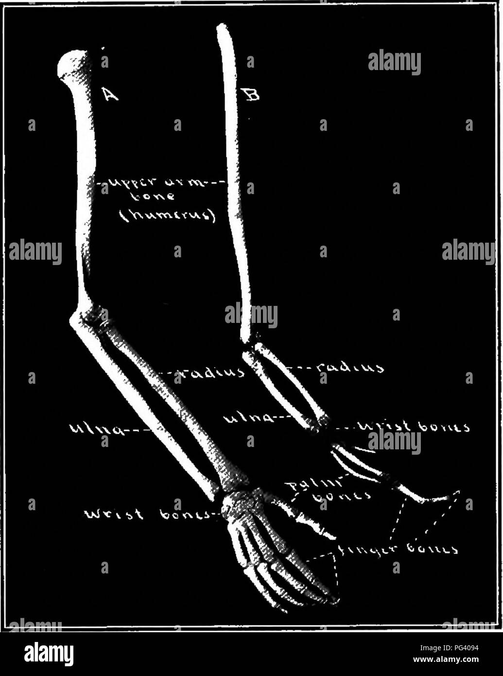 Arm Bones Black And White Stock Photos Images Alamy Of Chicken Wing Diagram Elementary Biology Animal Human 66 Are Two