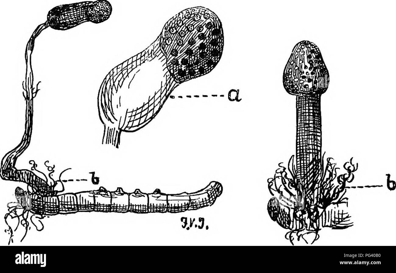 """. A text-book of agricultural zoology. Zoology, Economic. 180 LBPIDOPlJiiitA (^muixiay. The HepialidsB suffer from a fungoid disease caused by a curious form called Cordyceps entomorhiza, whicli grows out of. Fig. 82. Cordyceps entomorhiza (a fungus on Hepialus larvae). a, Fruit; &, mycelium. the caterpillar, after having invaded it internally and killed it (fig. 82). Bombycina.—The """" bomhyces """" are mostly clumsy, heavy- bodied moths, with a very hairy covering to their abdomen and thorax. The antennse in the male are pectinated. The wings are broad and tectiform when at rest. Th - Stock Image"""